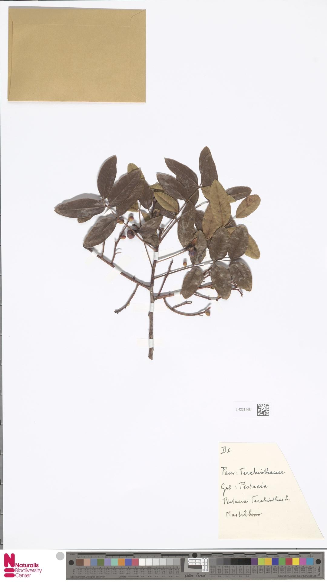 L.4231148 | Pistacia terebinthus L.