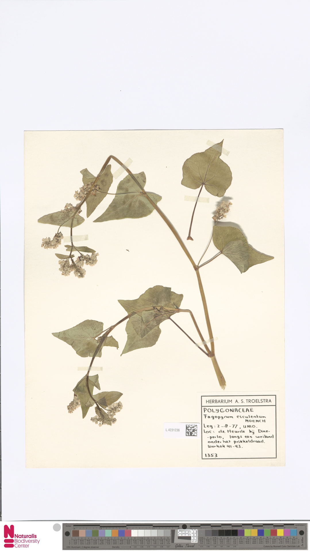 L.4231236 | Fagopyrum esculentum Moench
