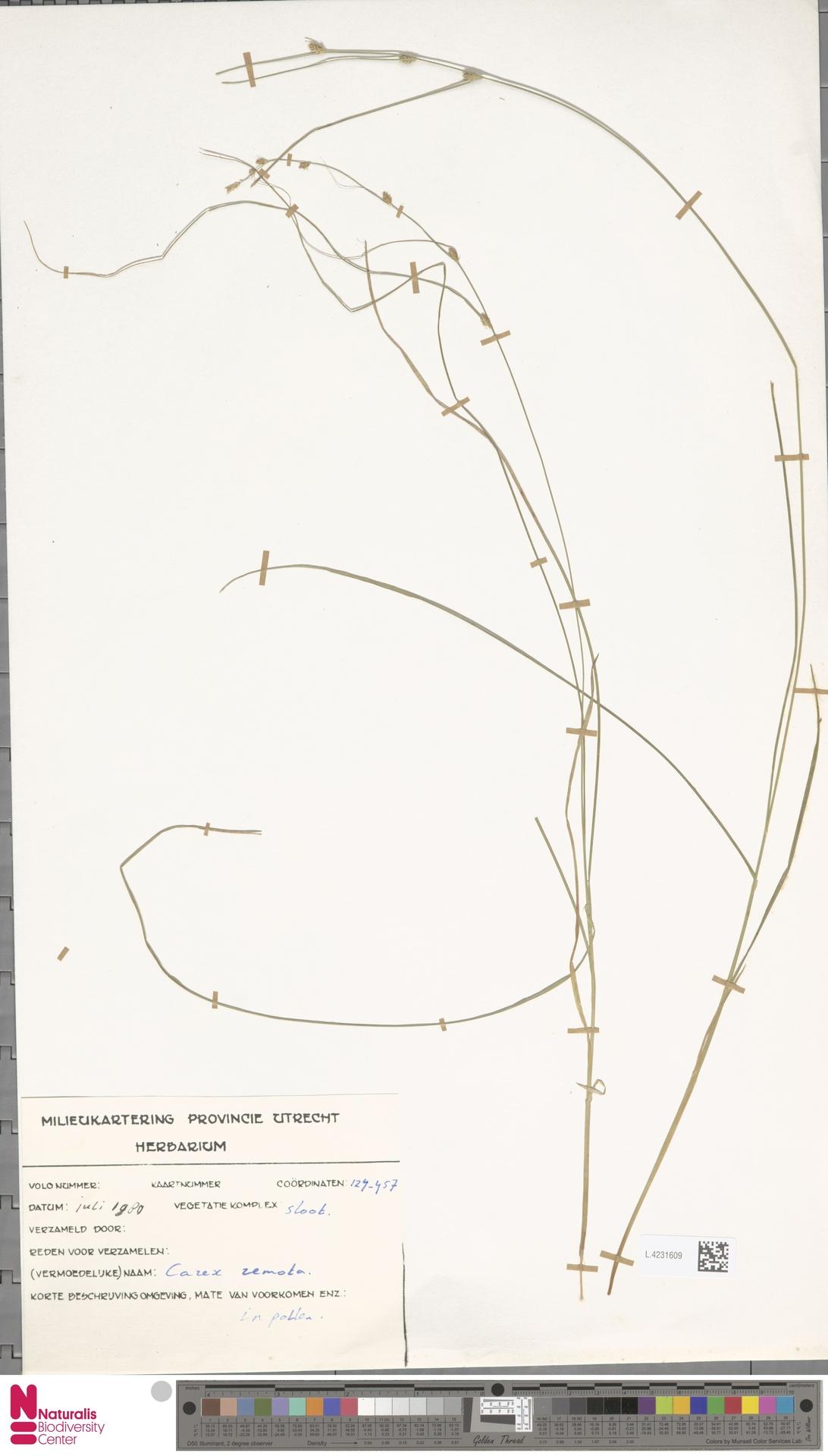 L.4231609 | Carex remota L.