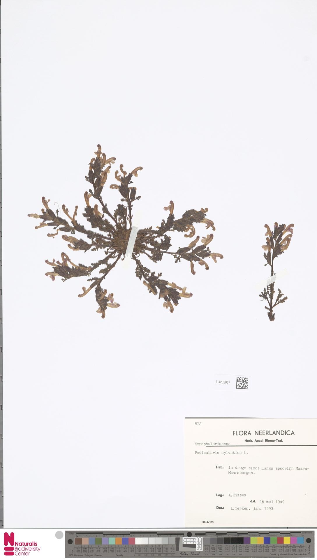 L.4232037 | Pedicularis sylvatica L.