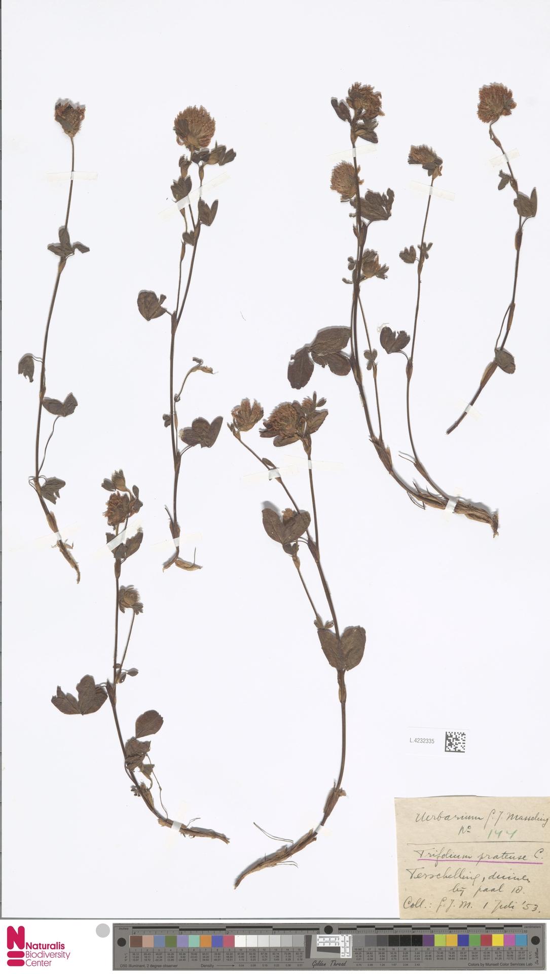 L.4232335 | Trifolium pratense L.