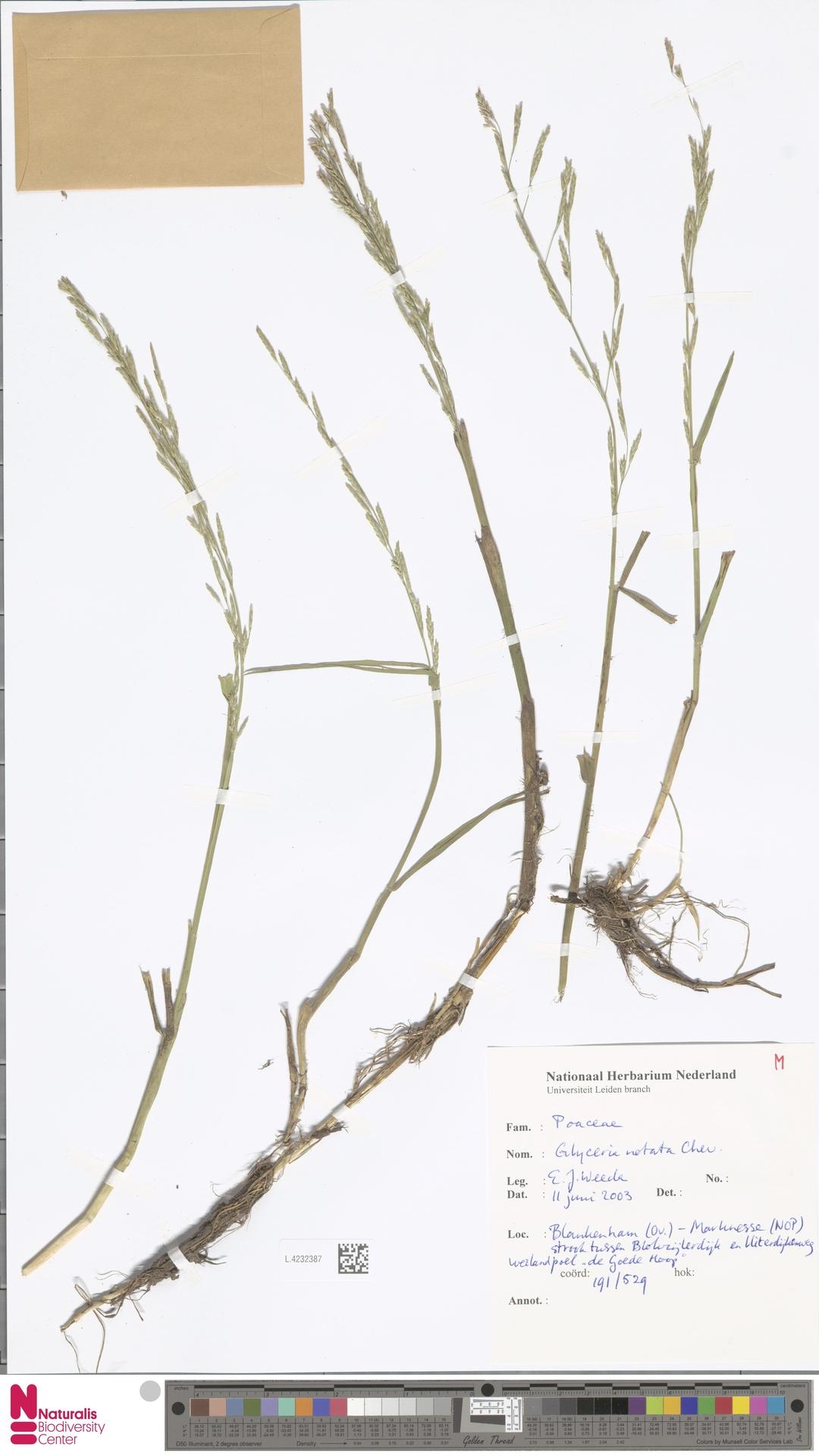 L.4232387 | Glyceria notata Chevall.