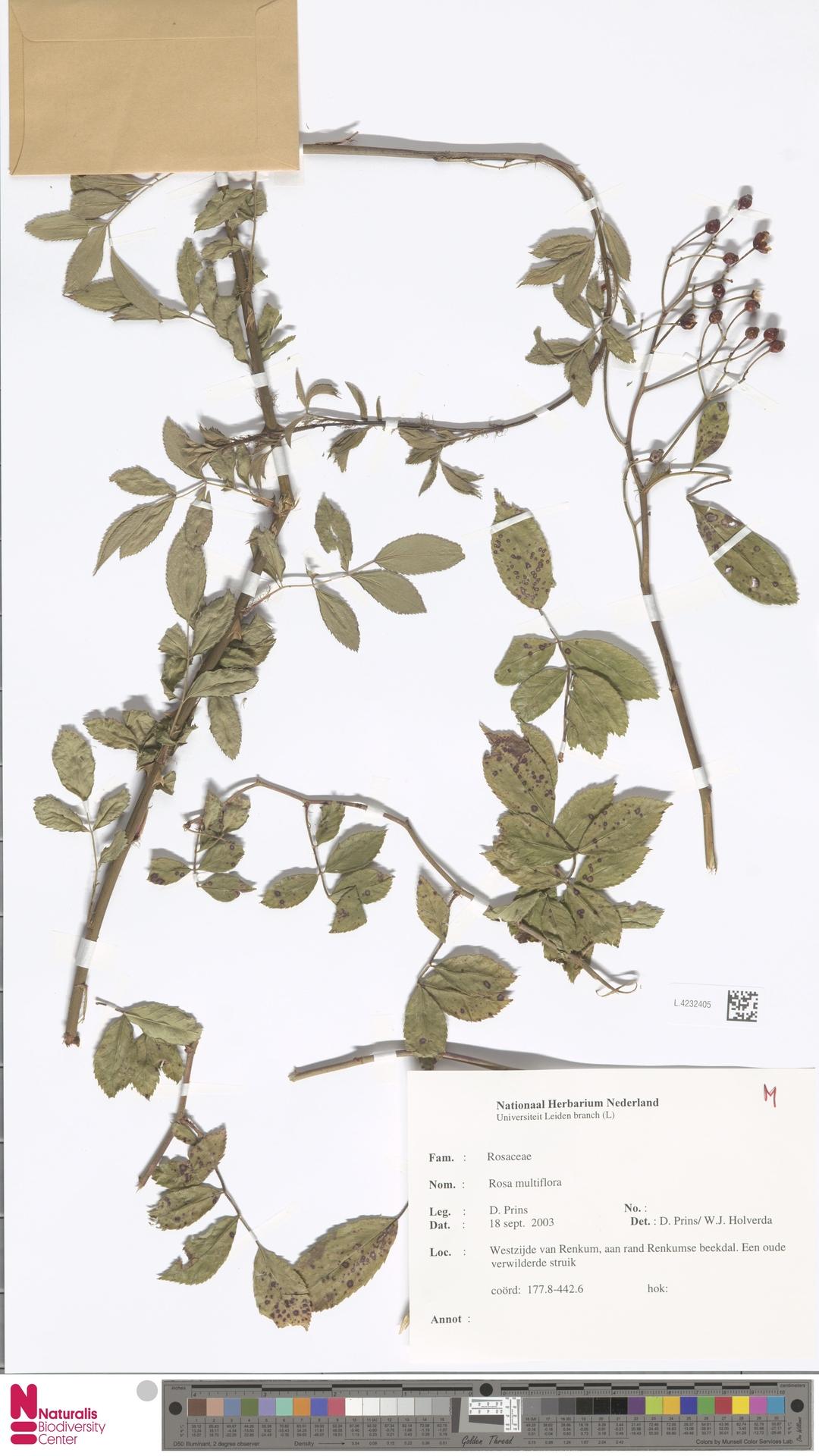 L.4232405 | Rosa multiflora Thunb.