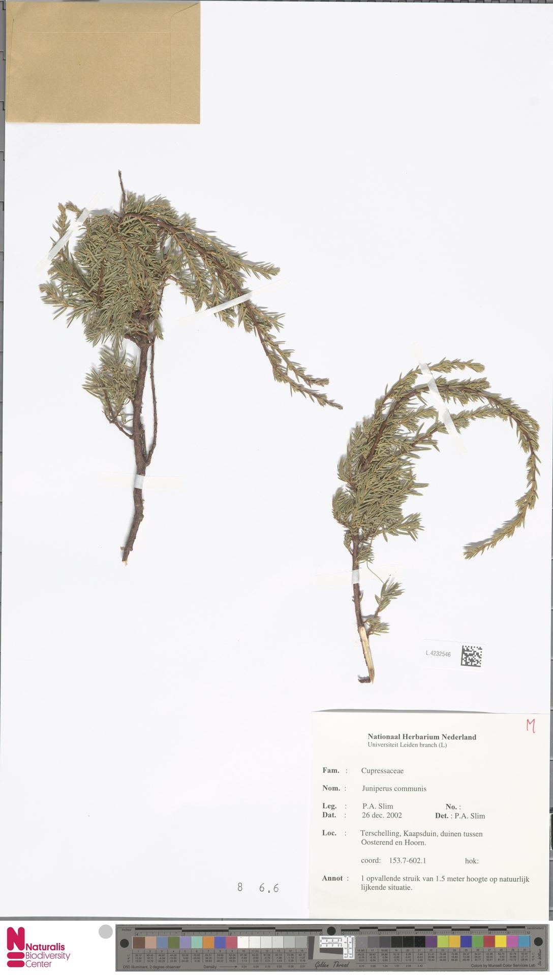 L.4232546 | Juniperus communis L.