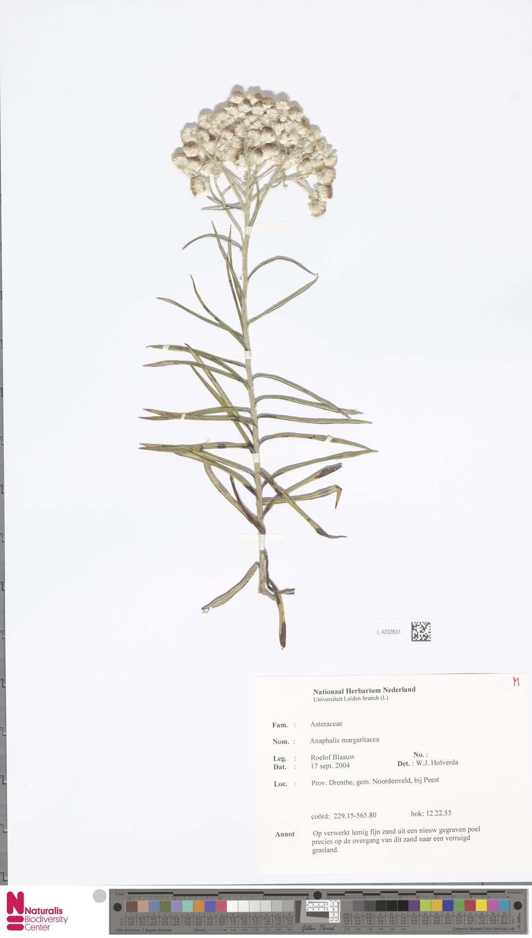 L.4232631 | Anaphalis margaritacea (L.) Benth. & Hook.f.