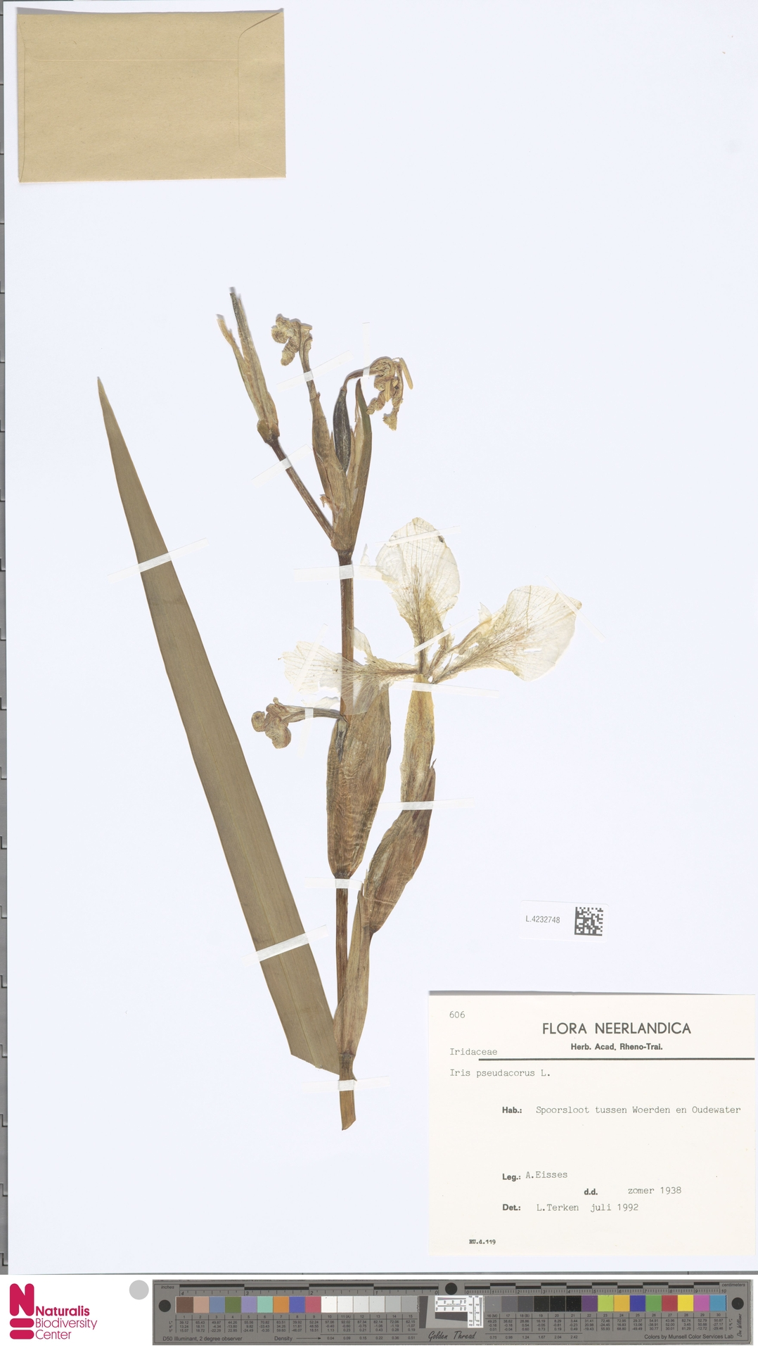 L.4232748 | Iris pseudacorus L.