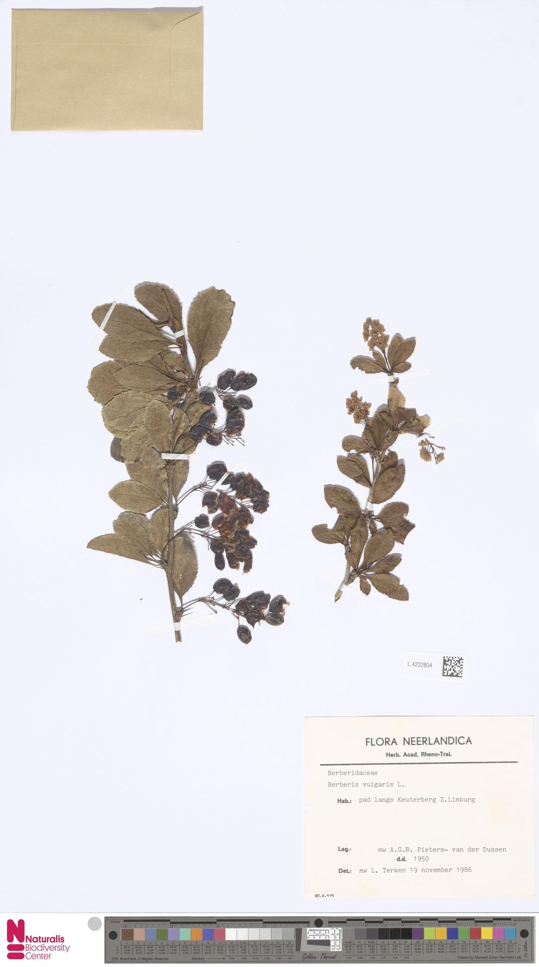L.4232804 | Berberis vulgaris L.