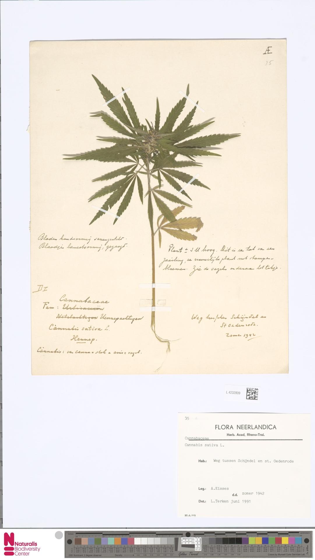 L.4232809 | Cannabis sativa L.