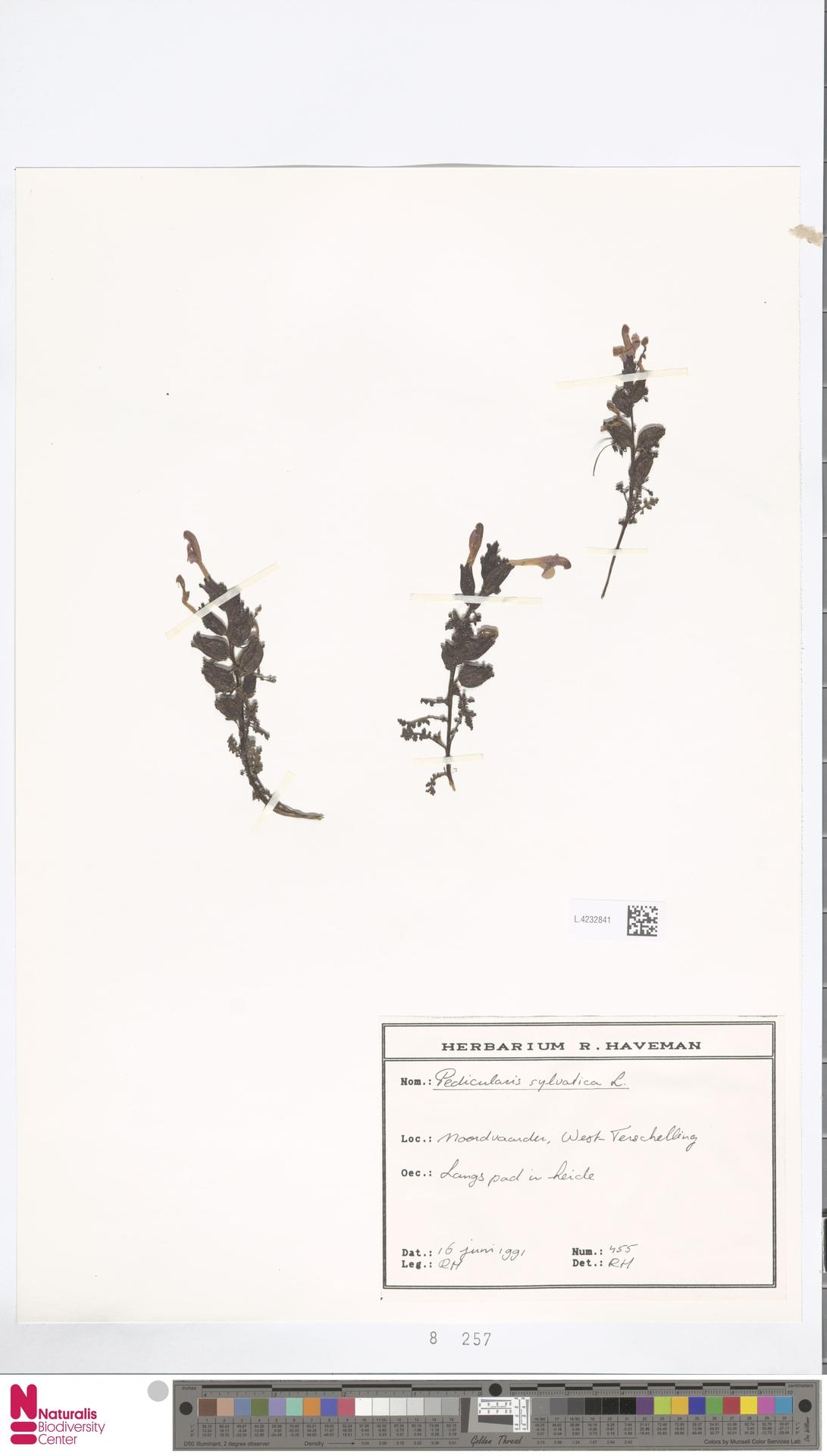 L.4232841 | Pedicularis sylvatica L.