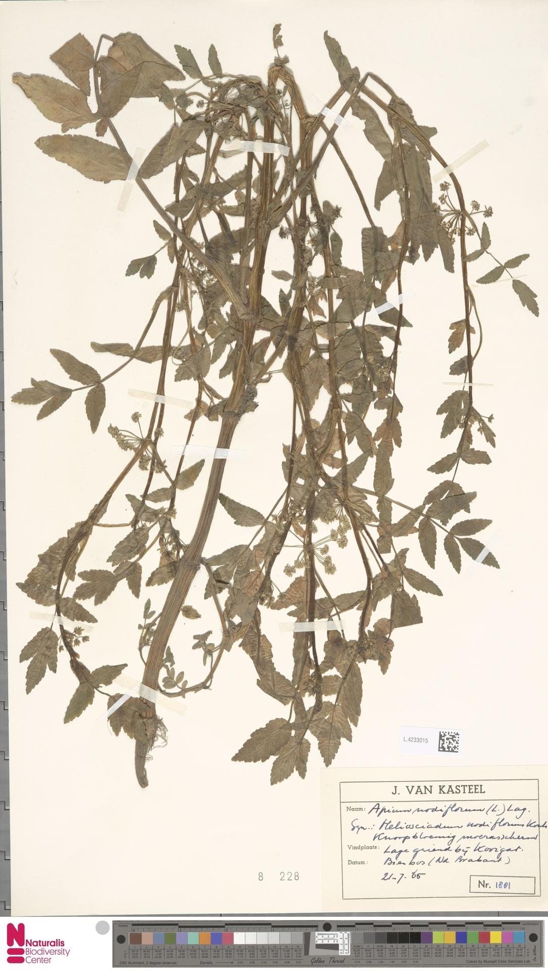 L.4233015   Apium nodiflorum (L.) Lag.