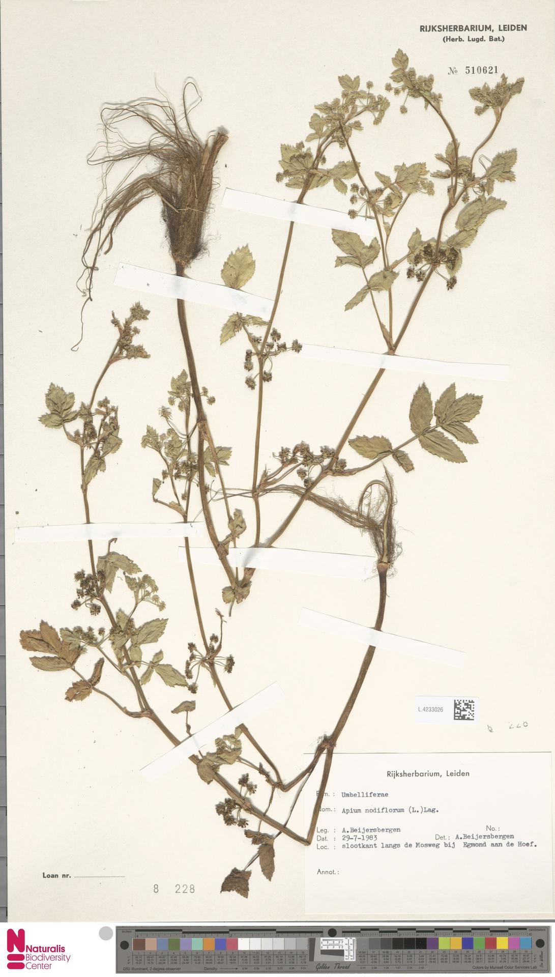 L.4233026 | Apium nodiflorum (L.) Lag.