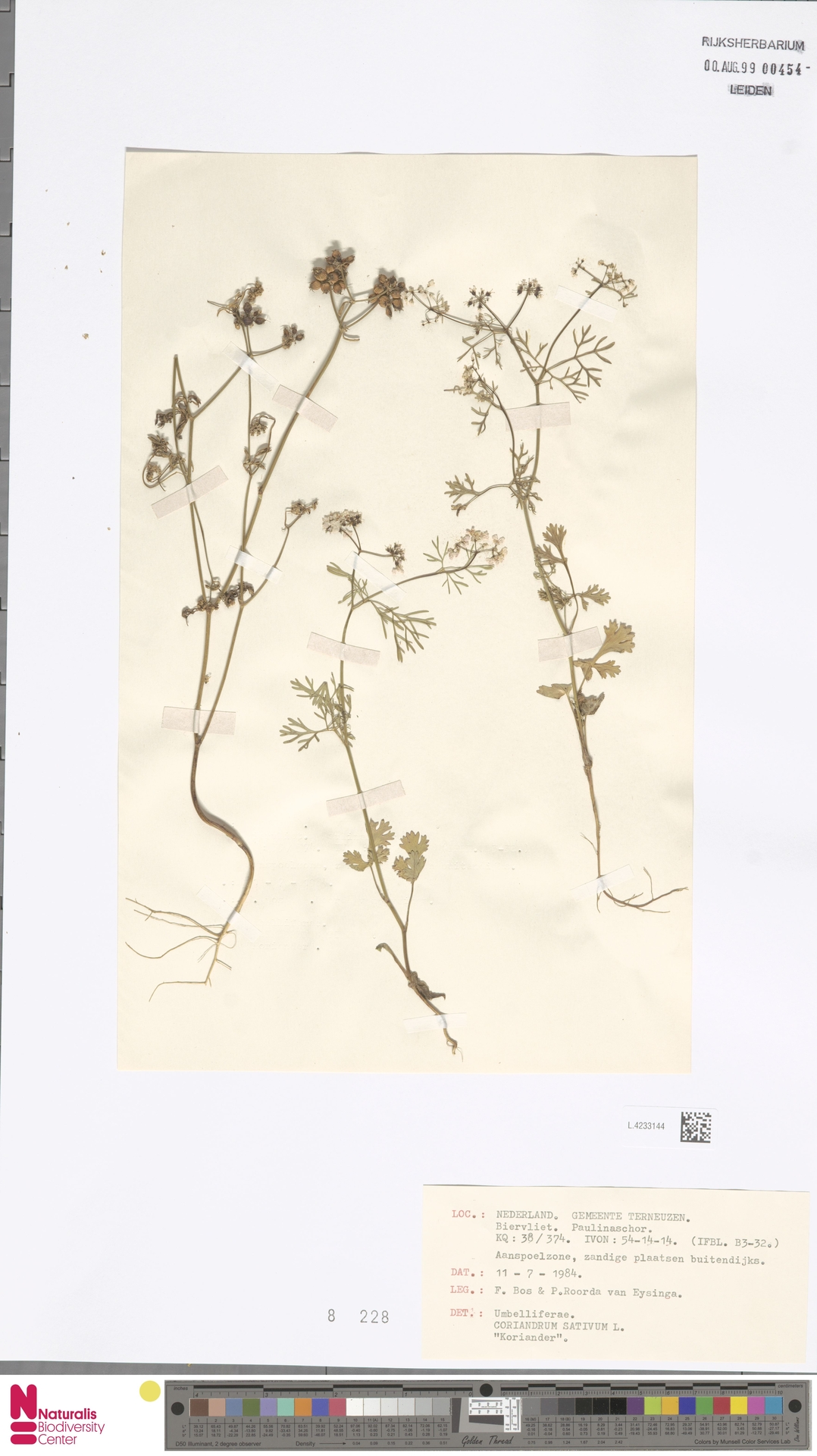 L.4233144 | Coriandrum sativum L.