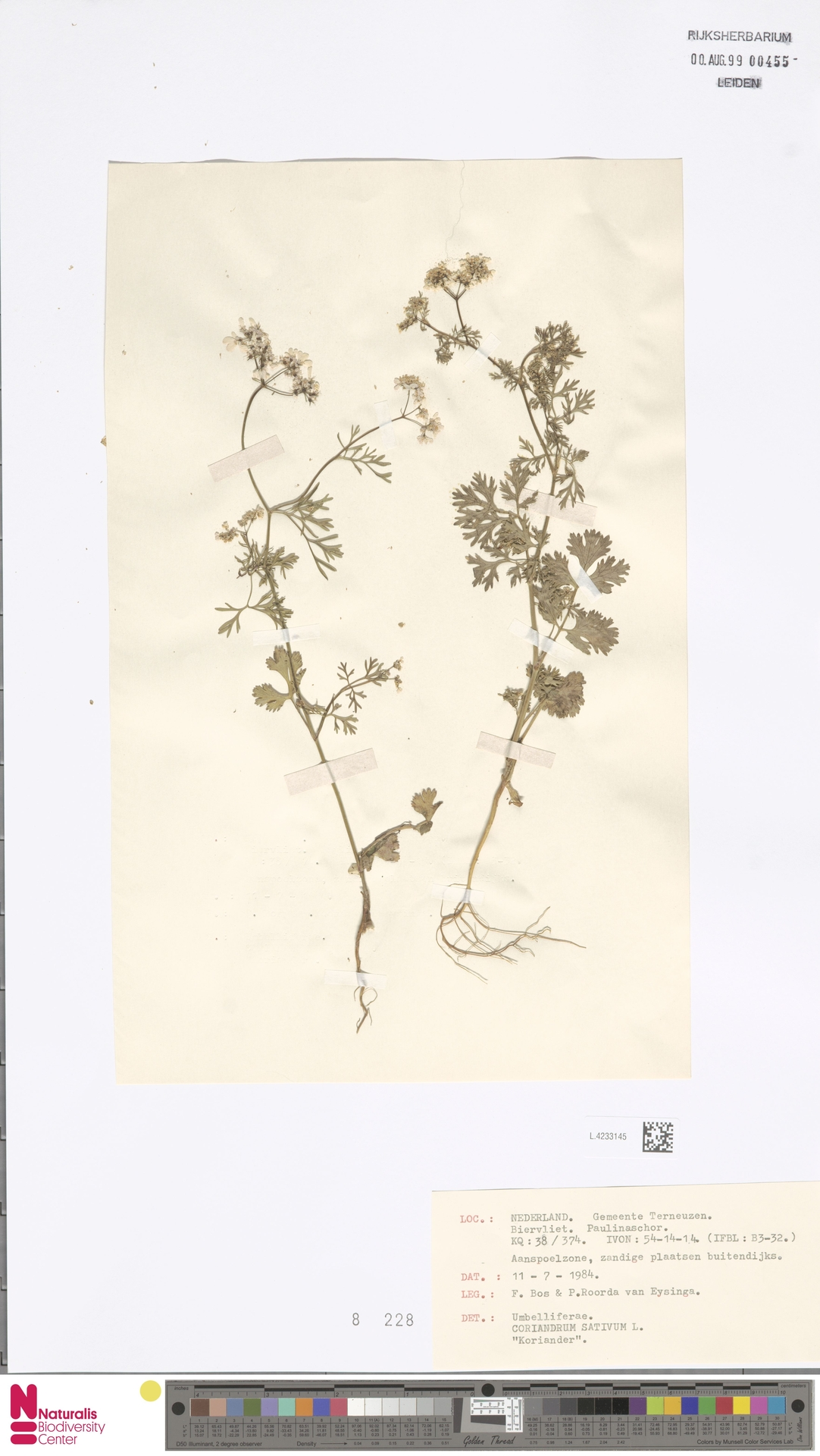 L.4233145 | Coriandrum sativum L.
