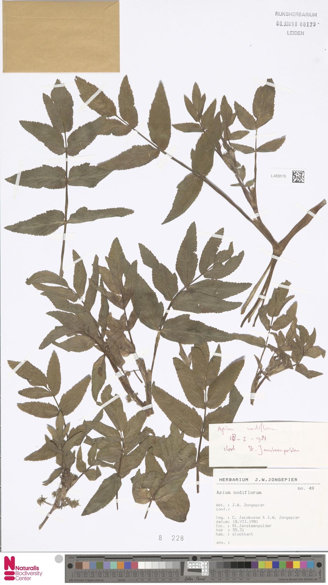 L.4233175   Apium nodiflorum (L.) Lag.