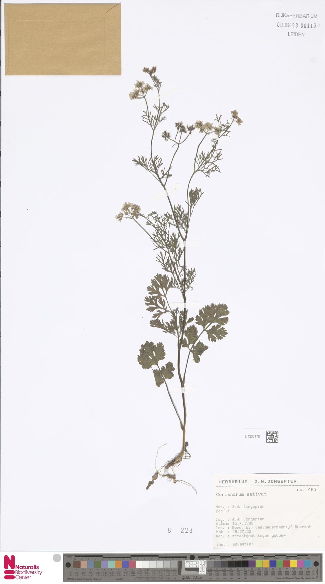 L.4233178   Coriandrum sativum L.