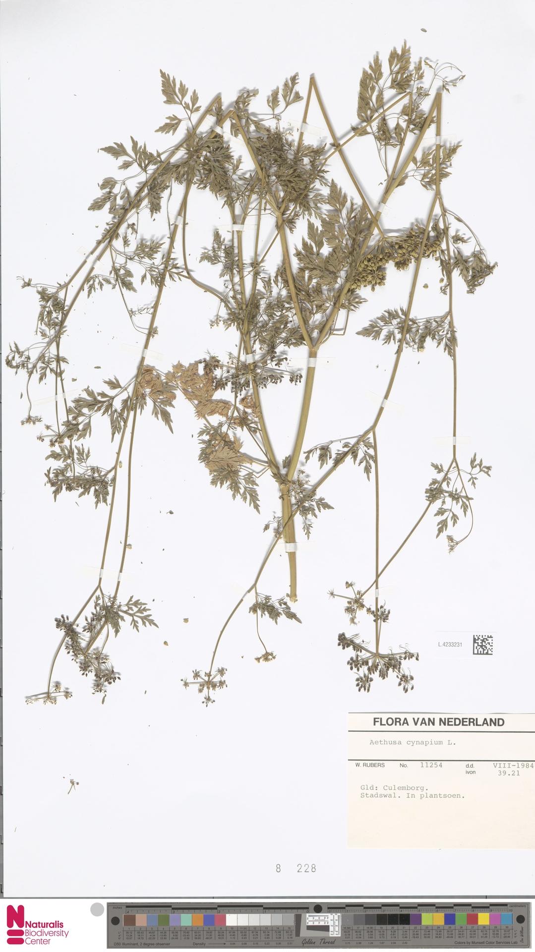 L.4233231 | Aethusa cynapium L.