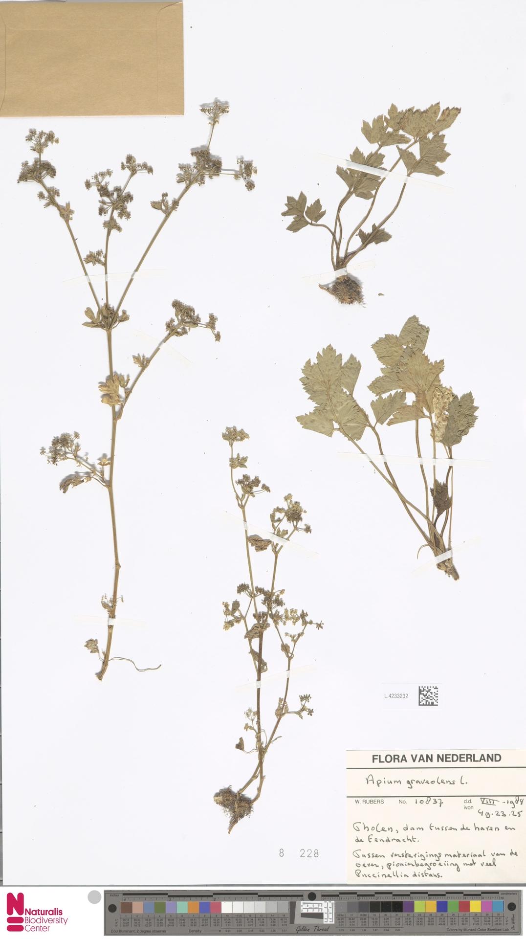 L.4233232 | Apium graveolens L.