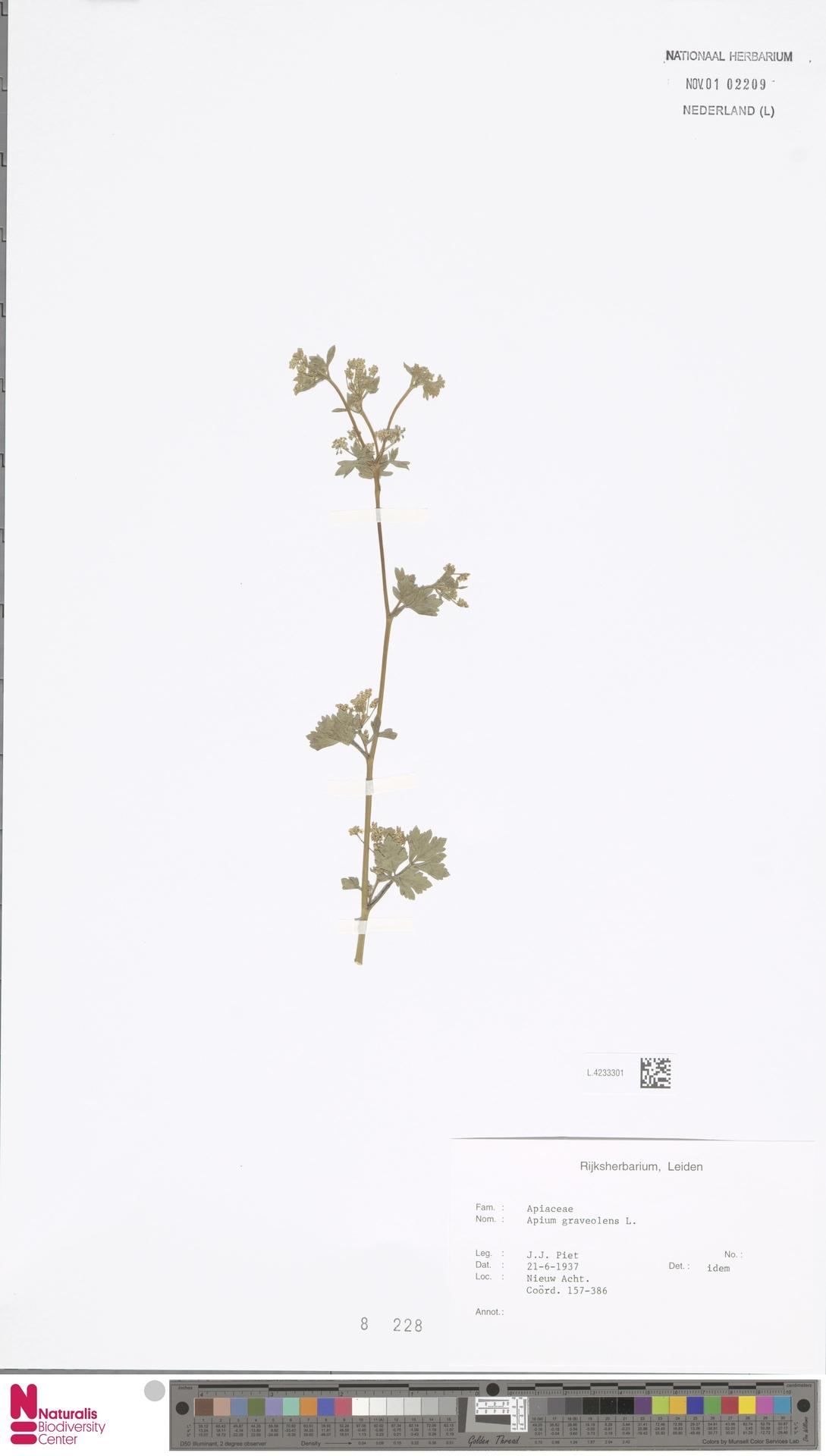 L.4233301 | Apium graveolens L.