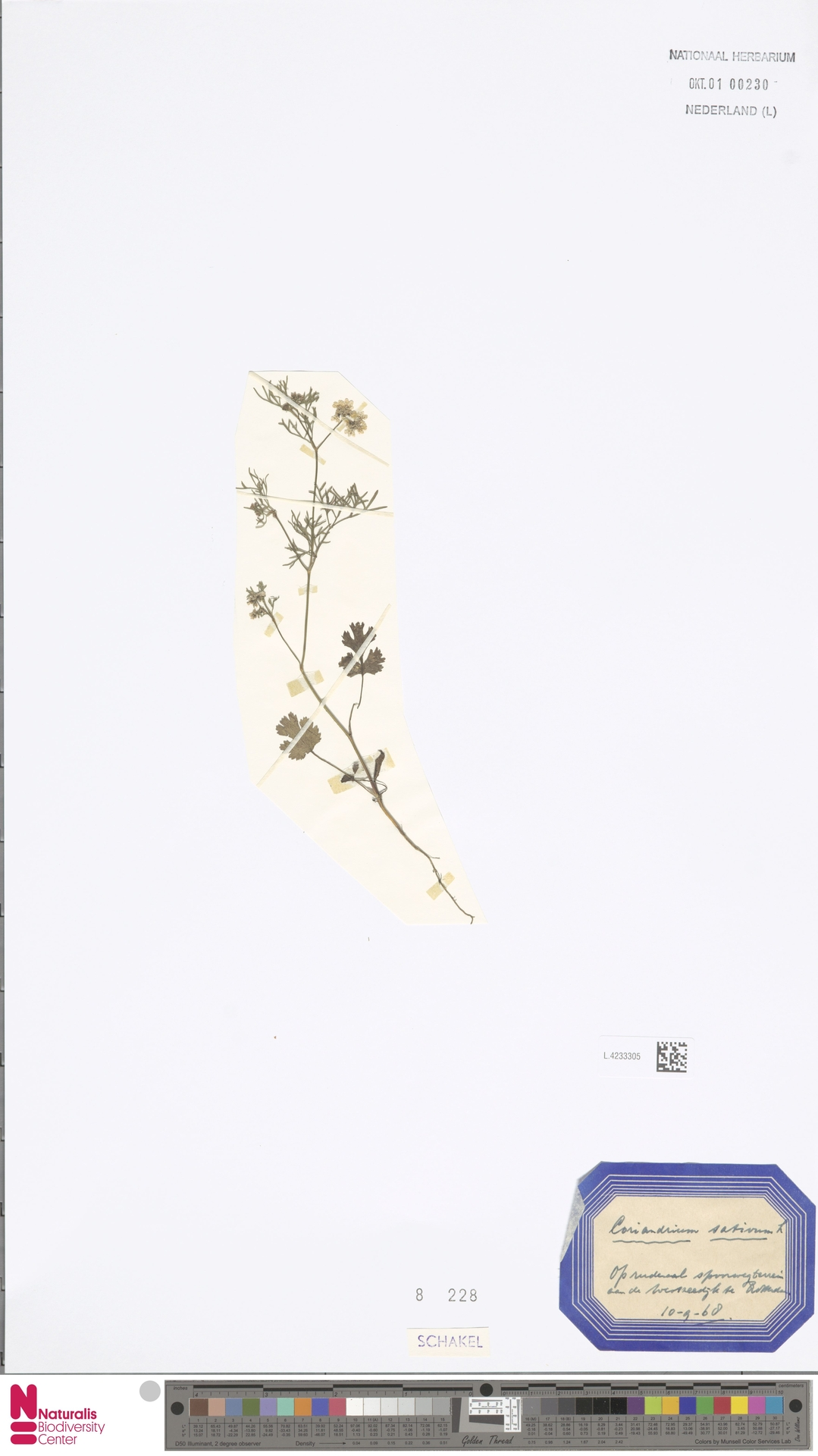 L.4233305 | Coriandrum sativum L.