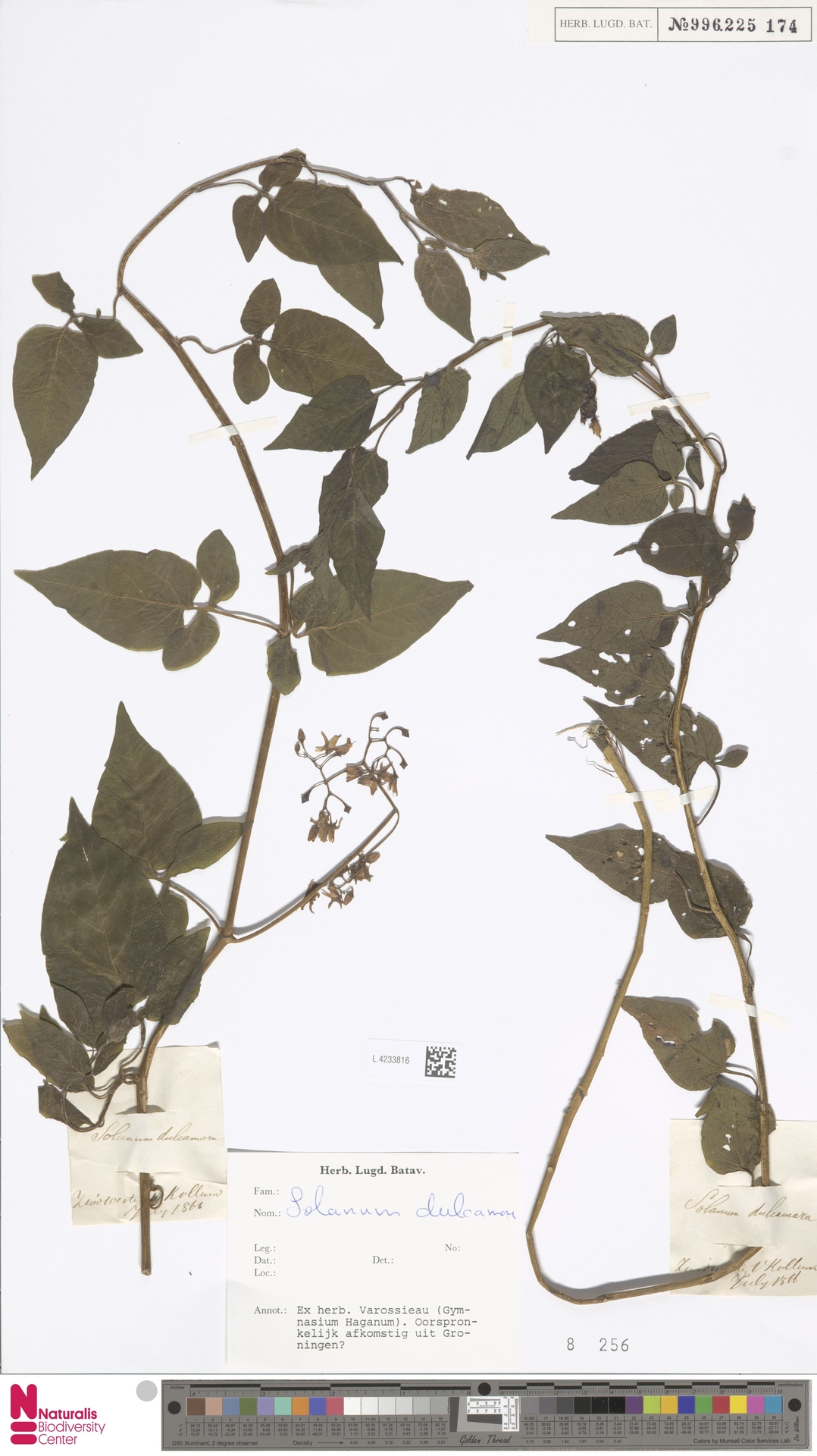 L.4233816   Solanum dulcamara L.