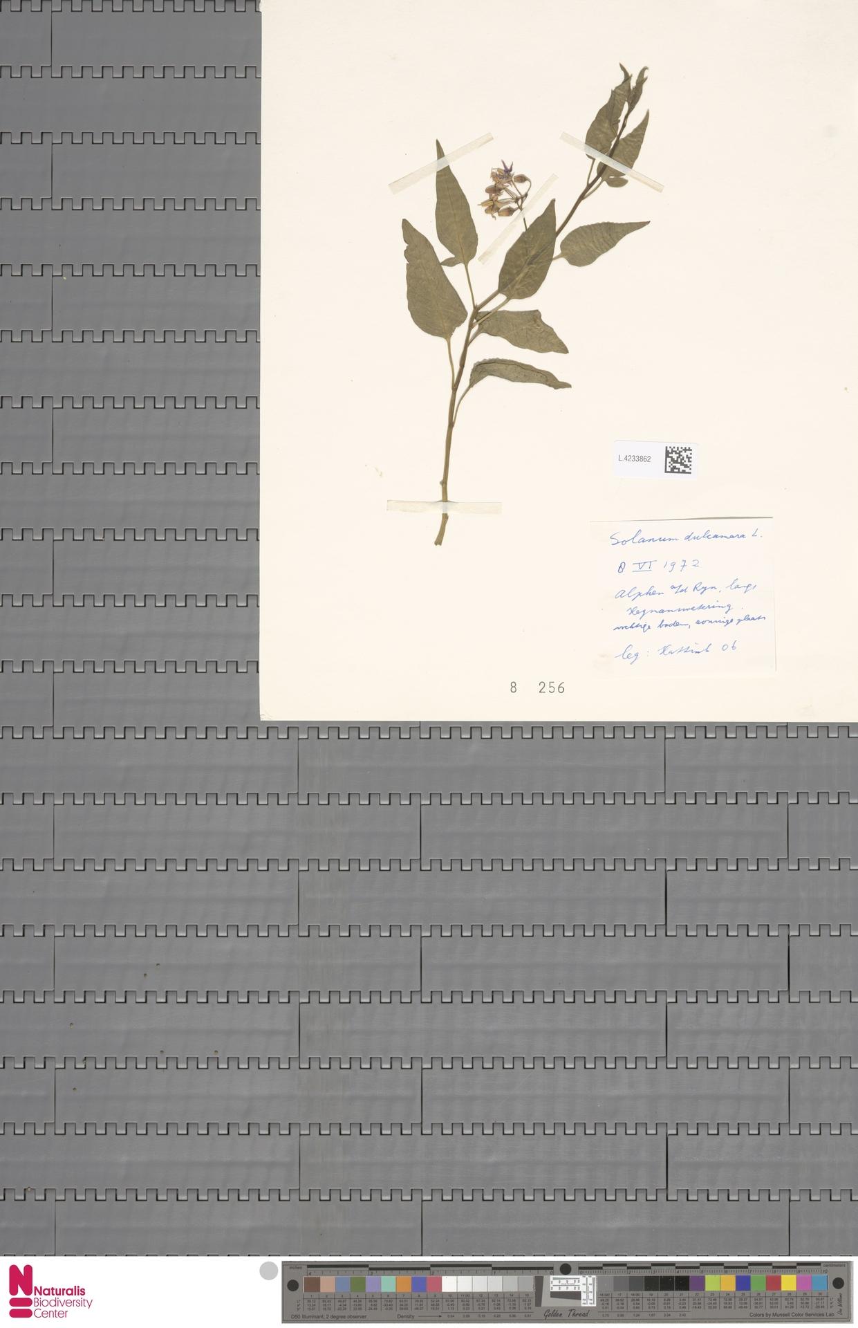 L.4233862 | Solanum dulcamara L.