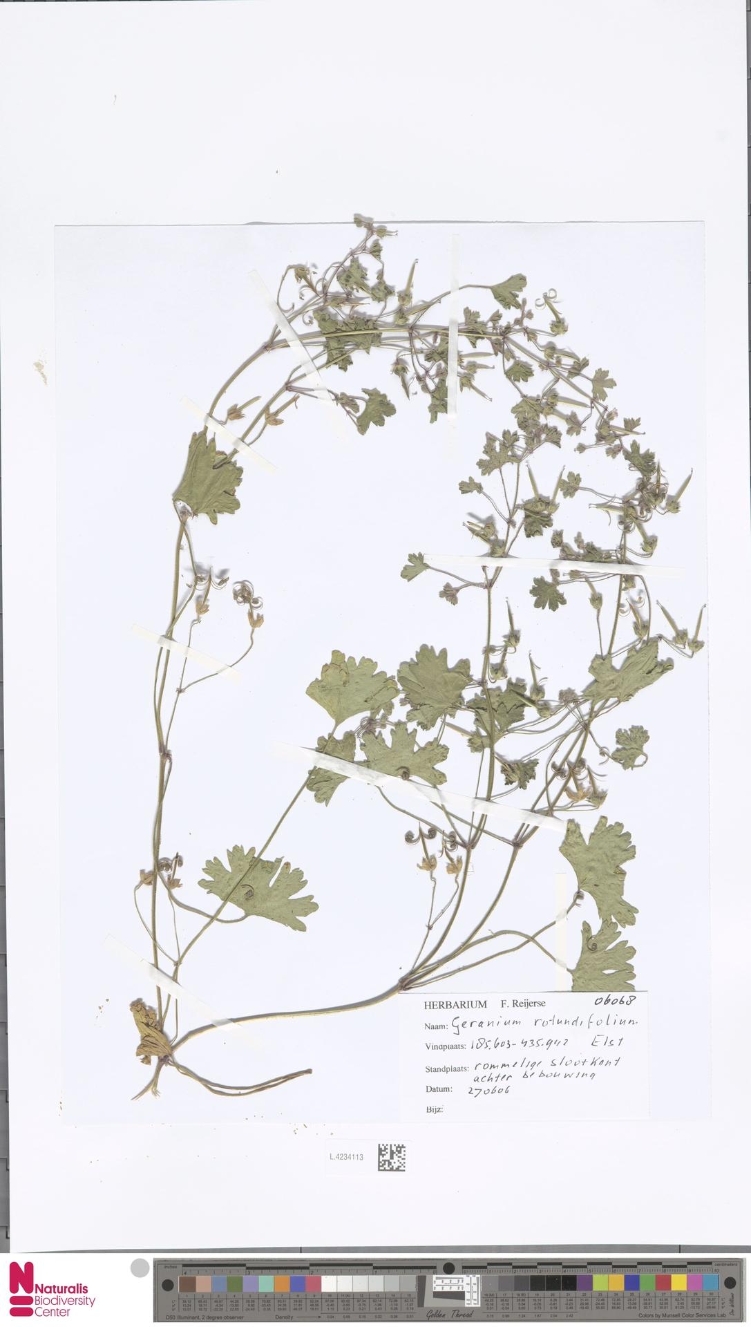 L.4234113 | Geranium rotundifolium L.