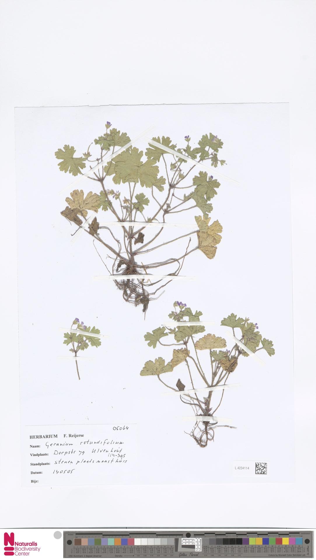 L.4234114 | Geranium rotundifolium L.