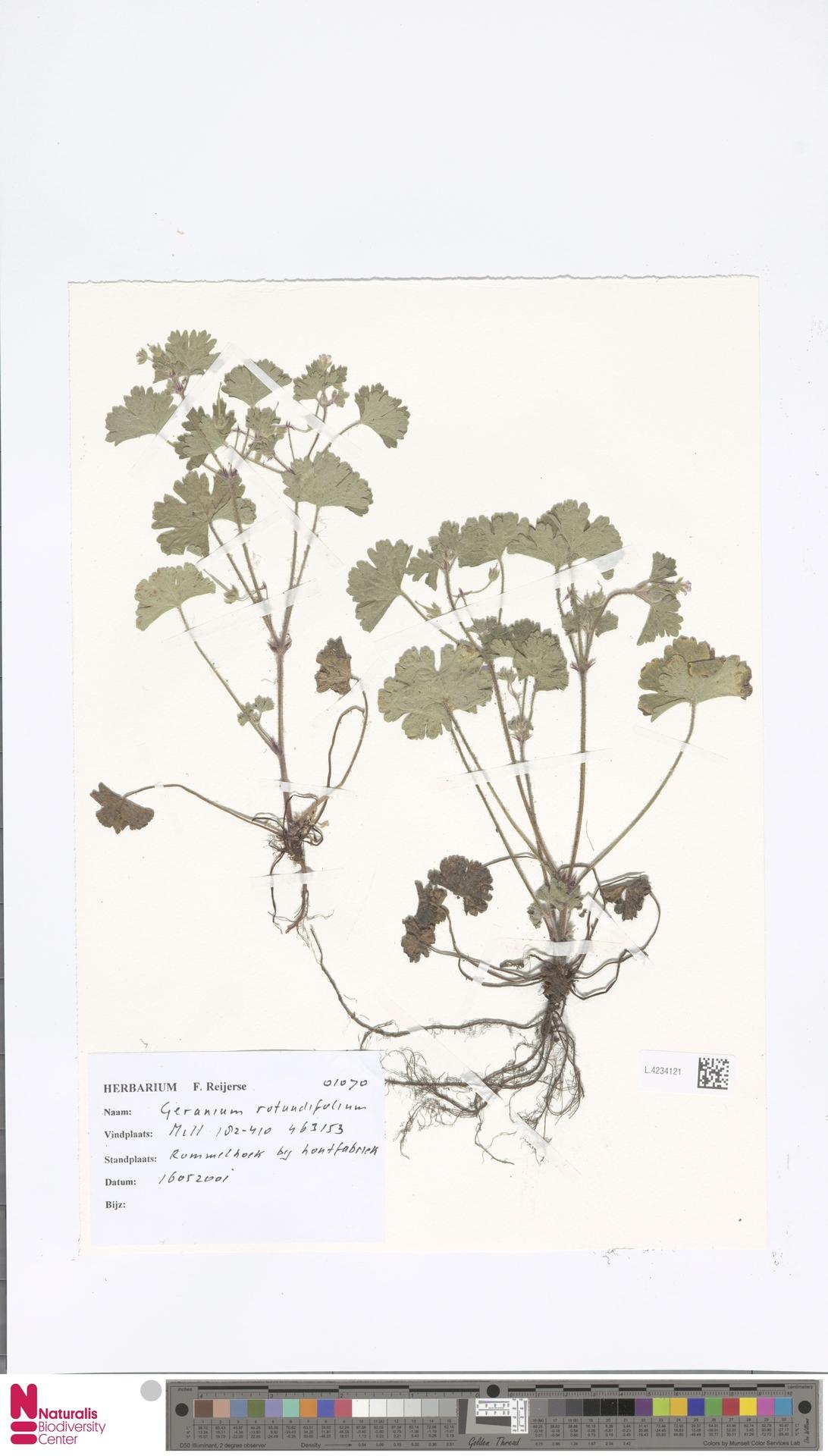 L.4234121 | Geranium rotundifolium L.