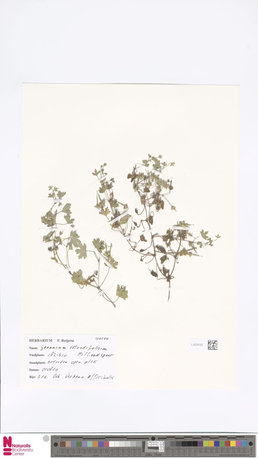 L.4234122 | Geranium rotundifolium L.