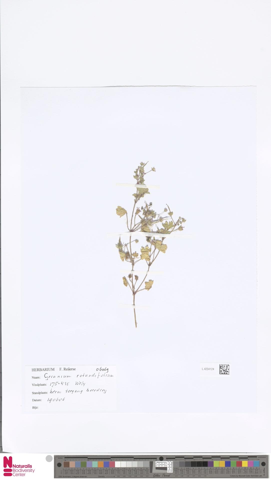 L.4234124 | Geranium rotundifolium L.