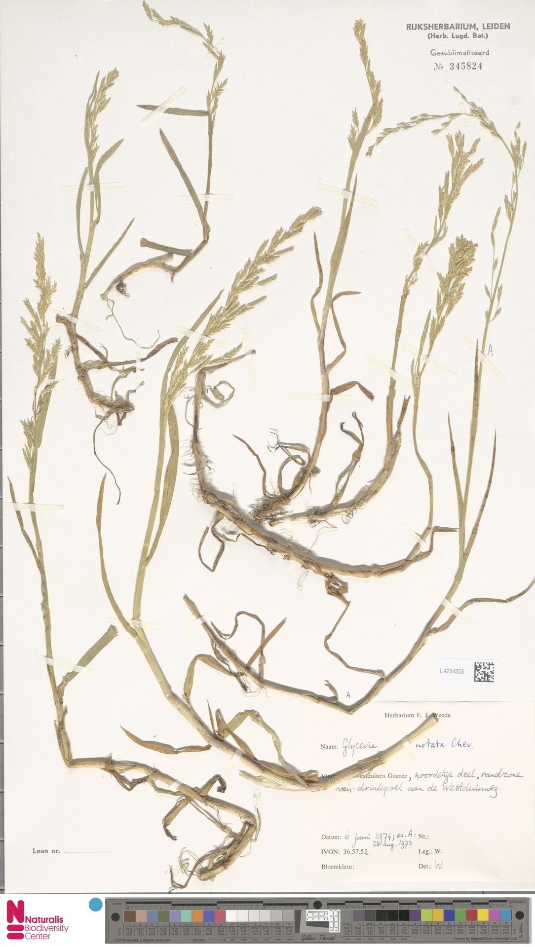 L.4234353 | Glyceria notata Chevall.