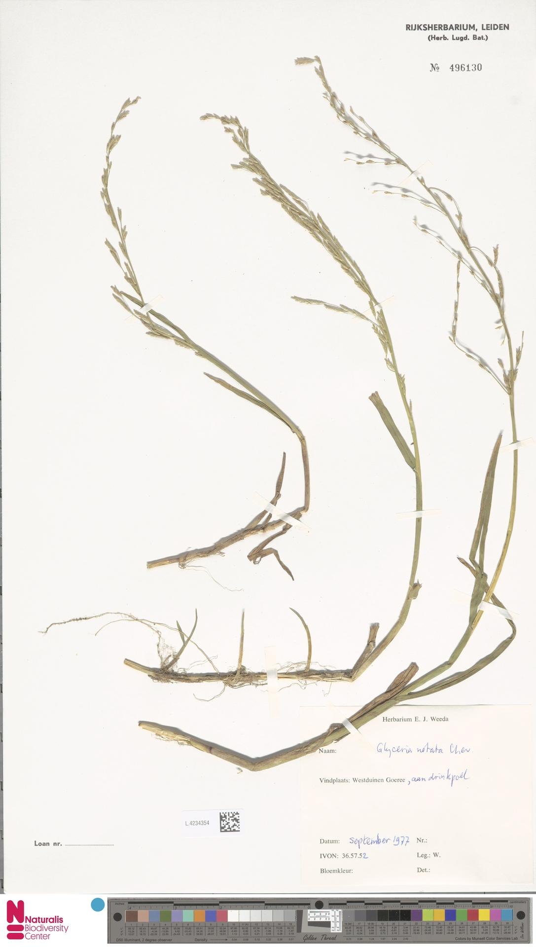 L.4234354 | Glyceria notata Chevall.