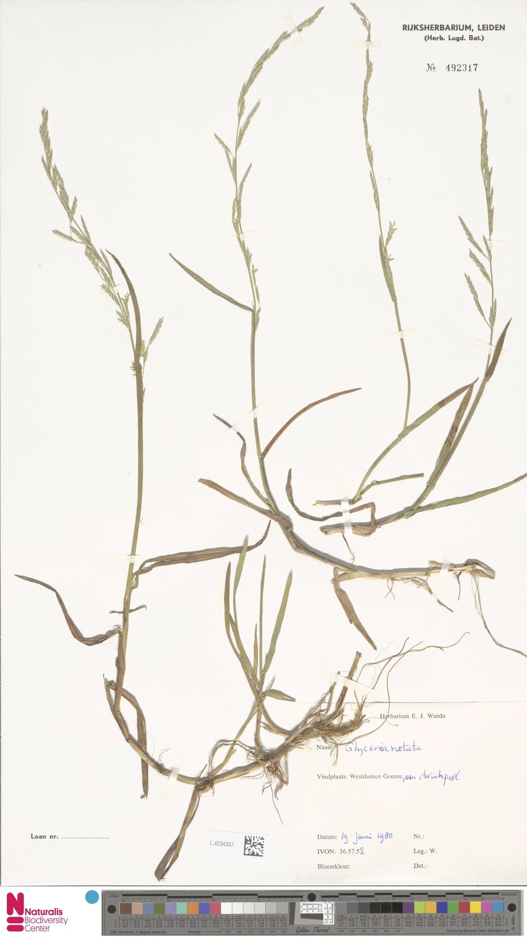 L.4234357 | Glyceria notata Chevall.