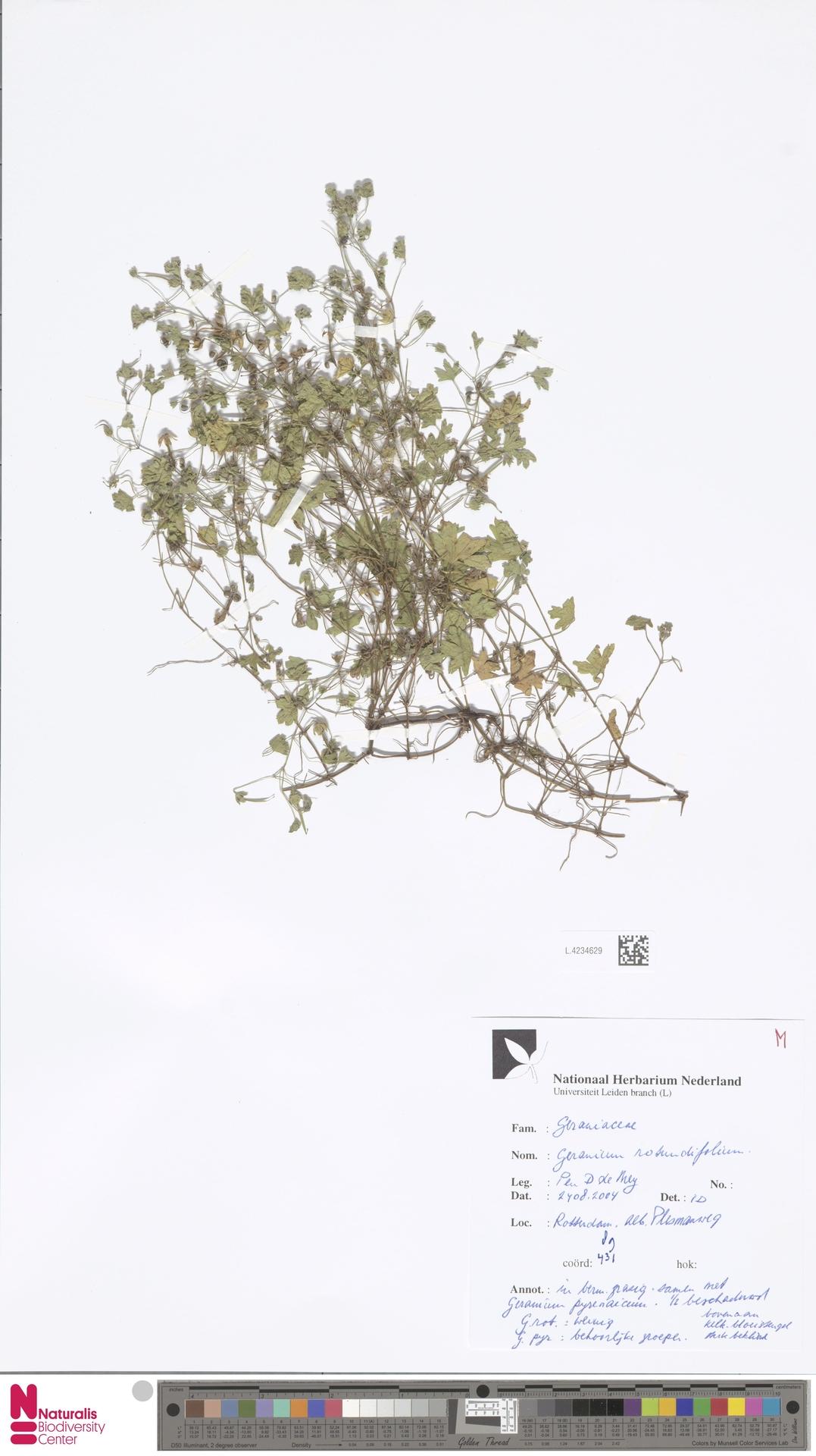 L.4234629 | Geranium rotundifolium L.