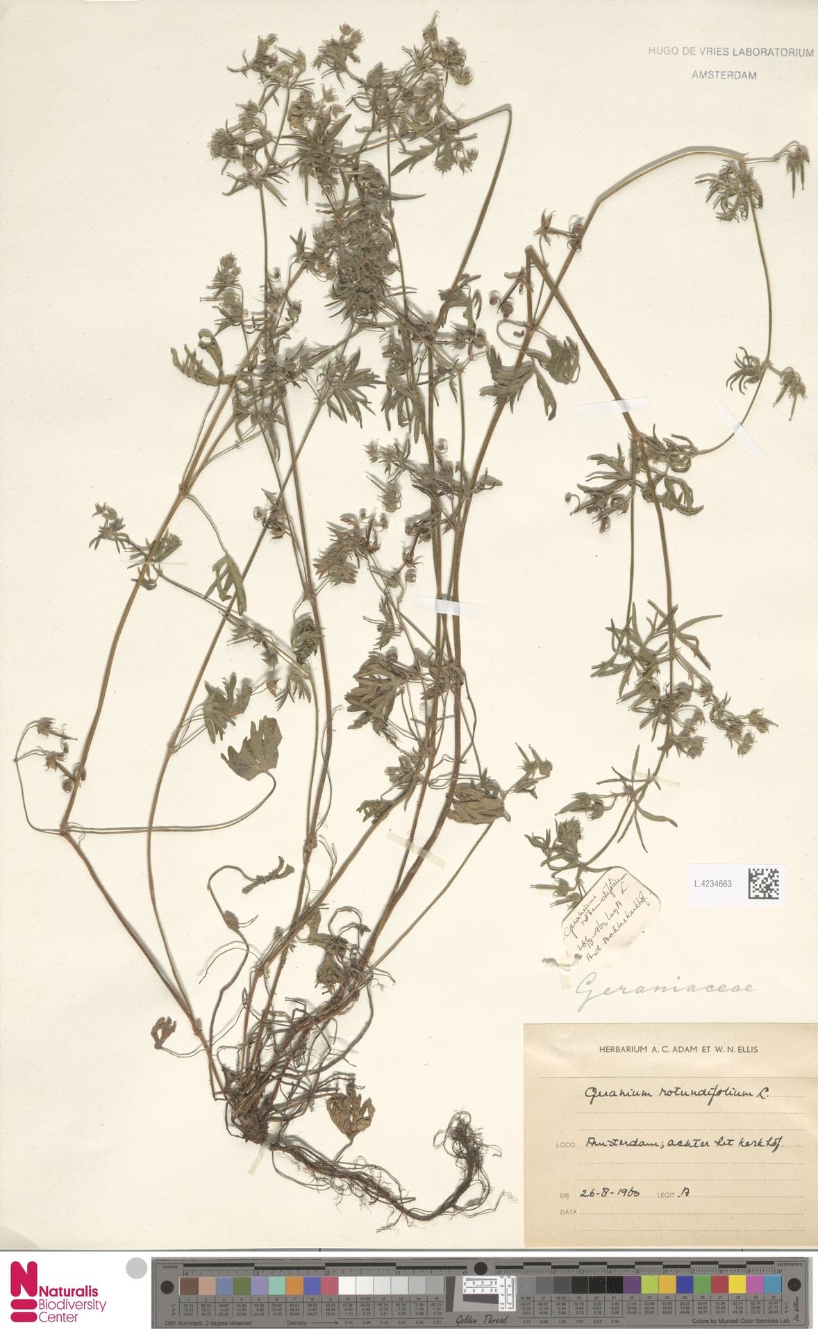 L.4234663 | Geranium rotundifolium L.