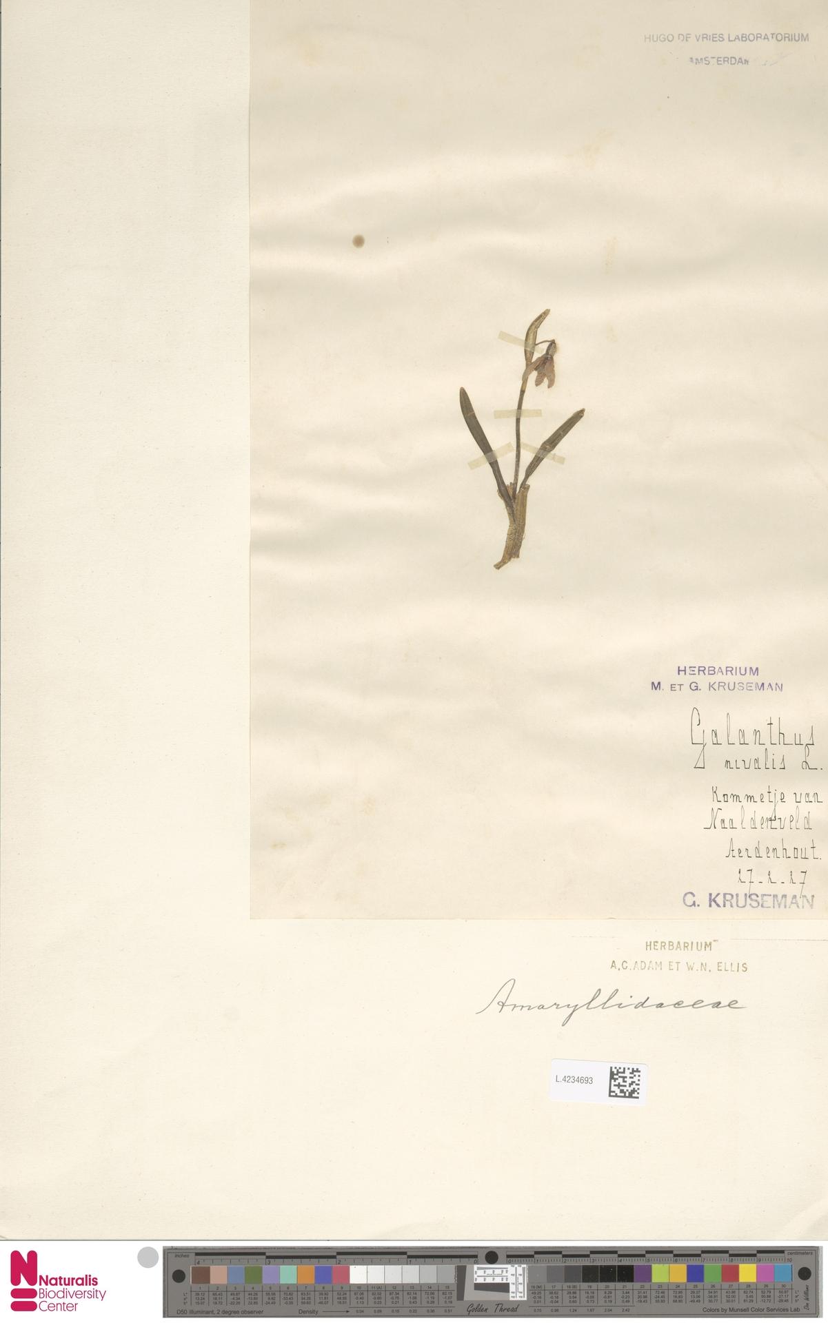 L.4234693 | Galanthus nivalis L.