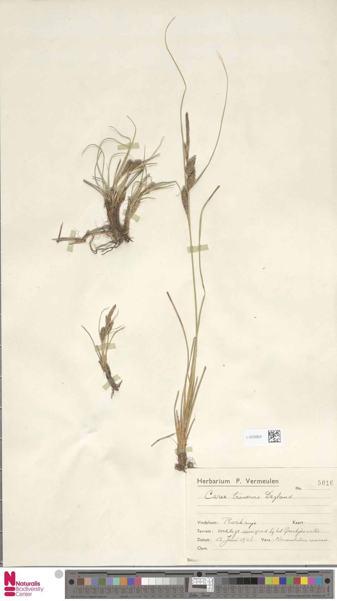 L.4234854 | Carex trinervis Degl.