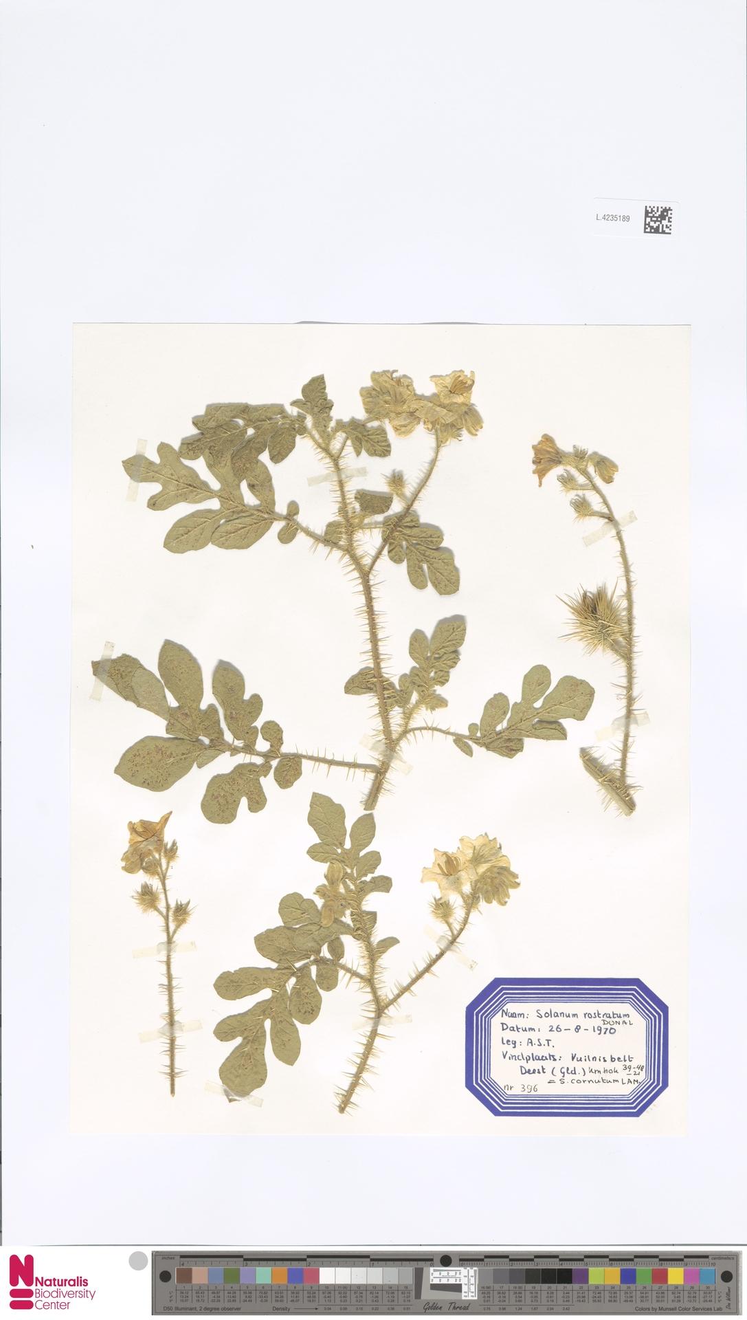 L.4235189   Solanum rostratum Dunal