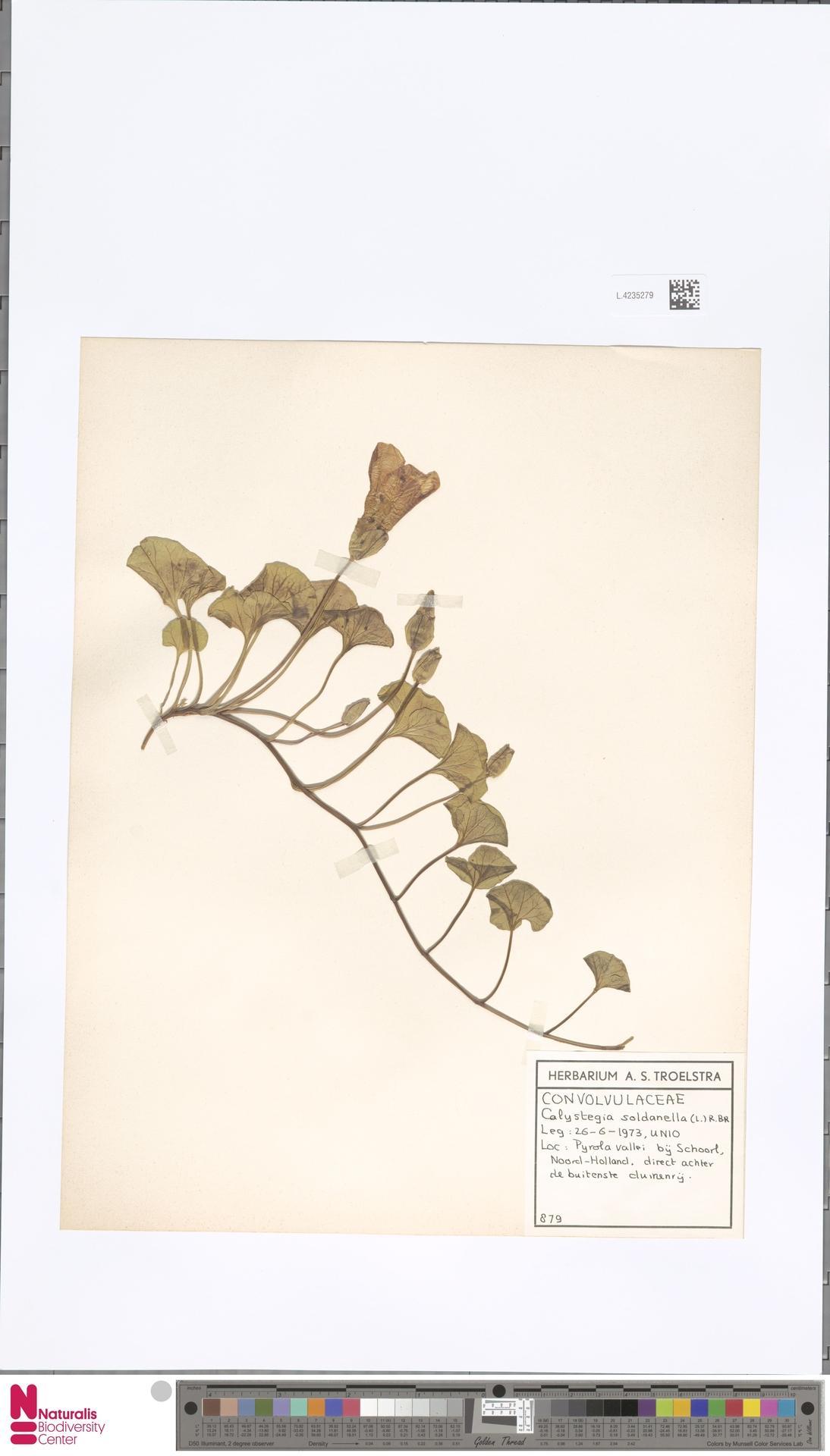 L.4235279 | Calystegia soldanella (L.) R.Br.