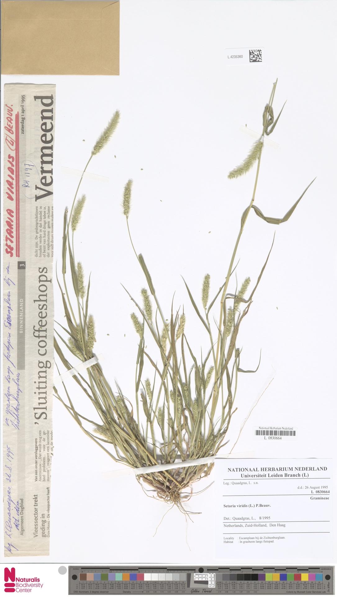 L.4235360 | Setaria viridis (L.) P.Beauv.