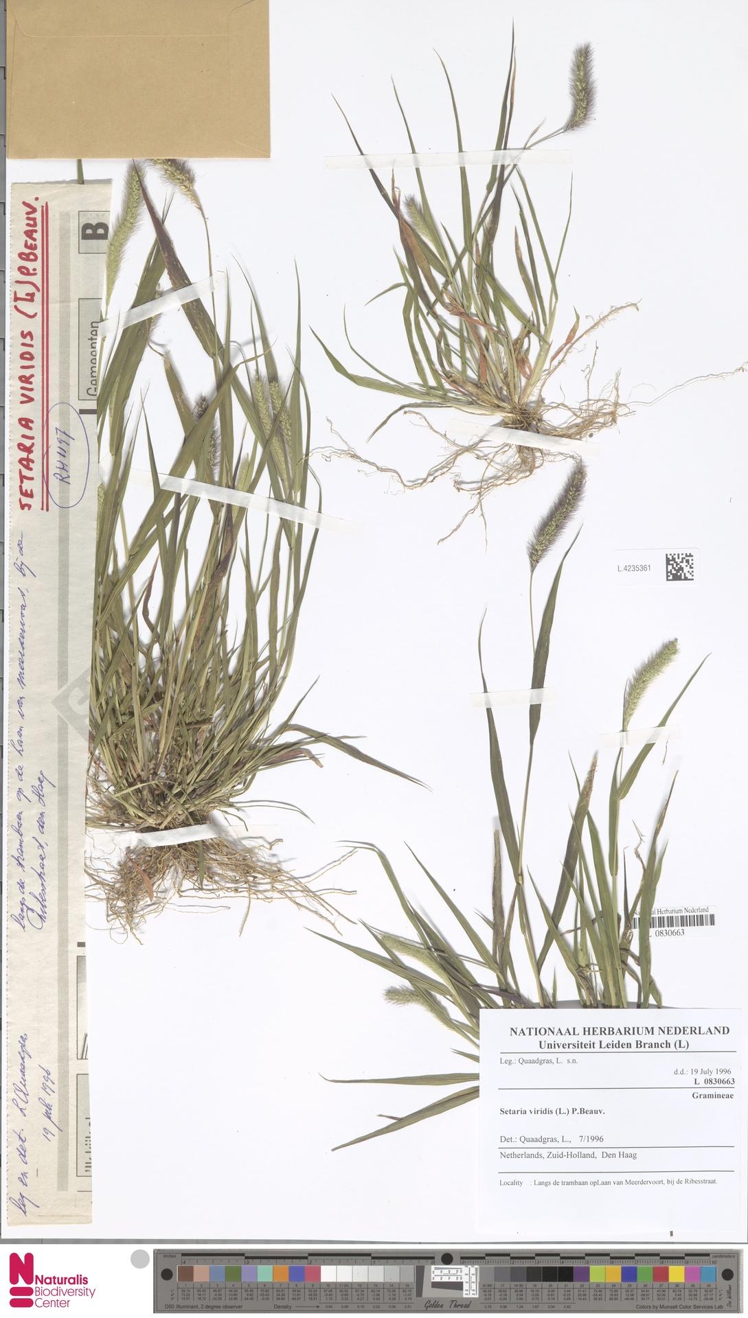 L.4235361 | Setaria viridis (L.) P.Beauv.