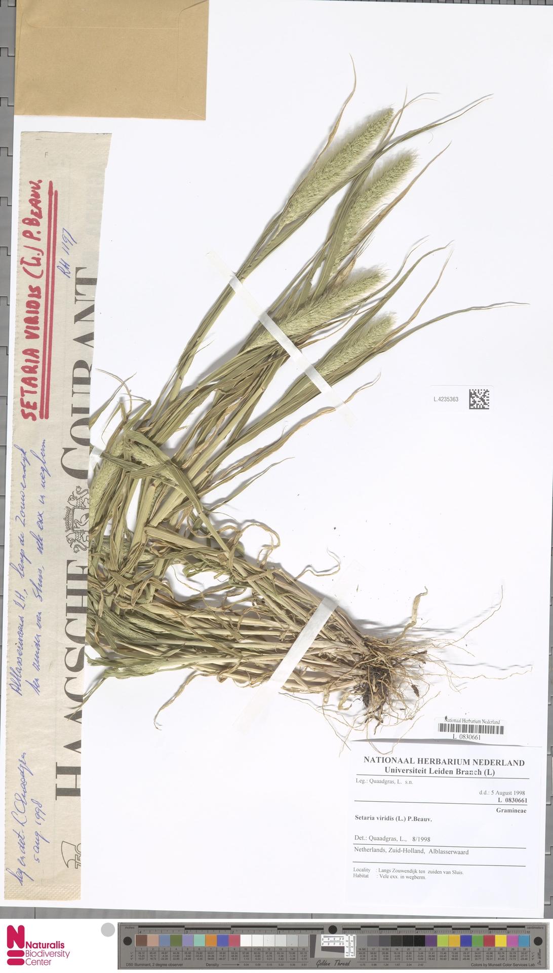 L.4235363   Setaria viridis (L.) P.Beauv.