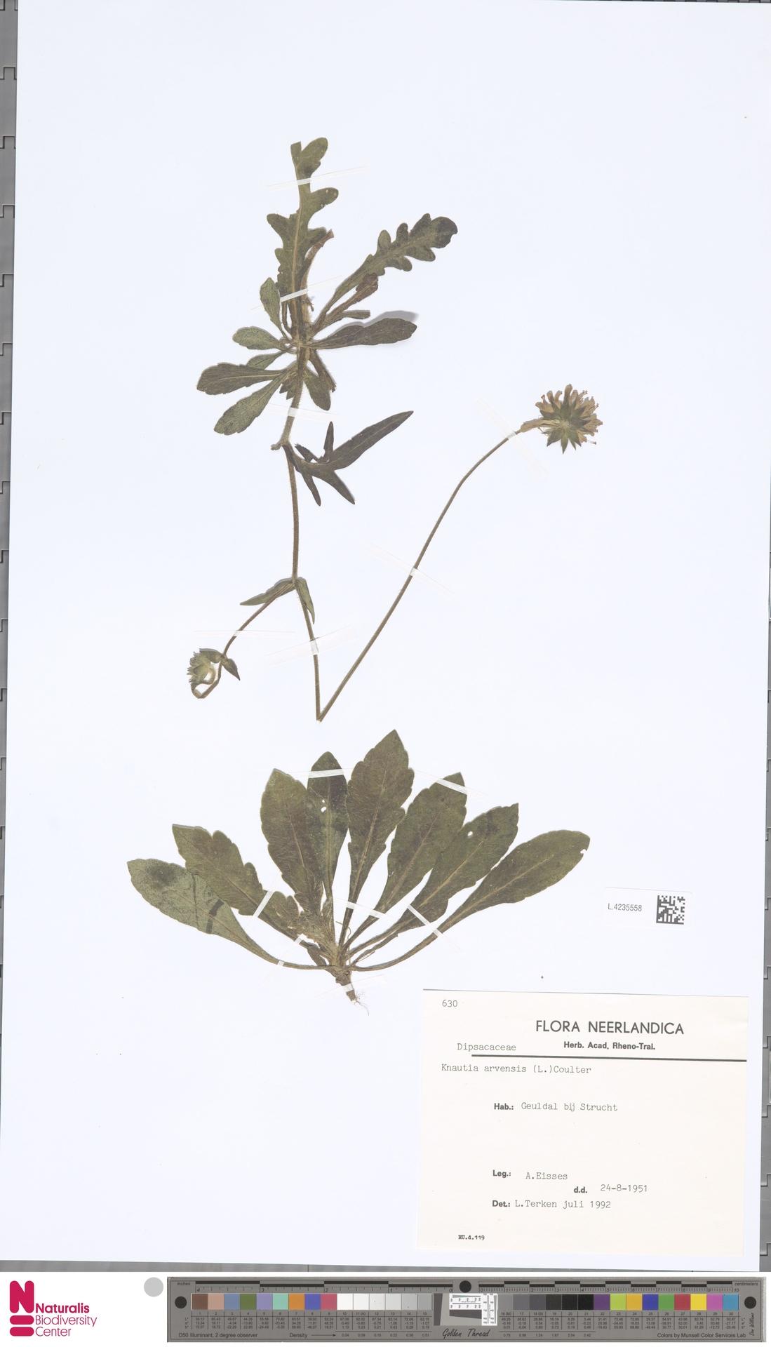 L.4235558 | Knautia arvensis (L.) Coult.