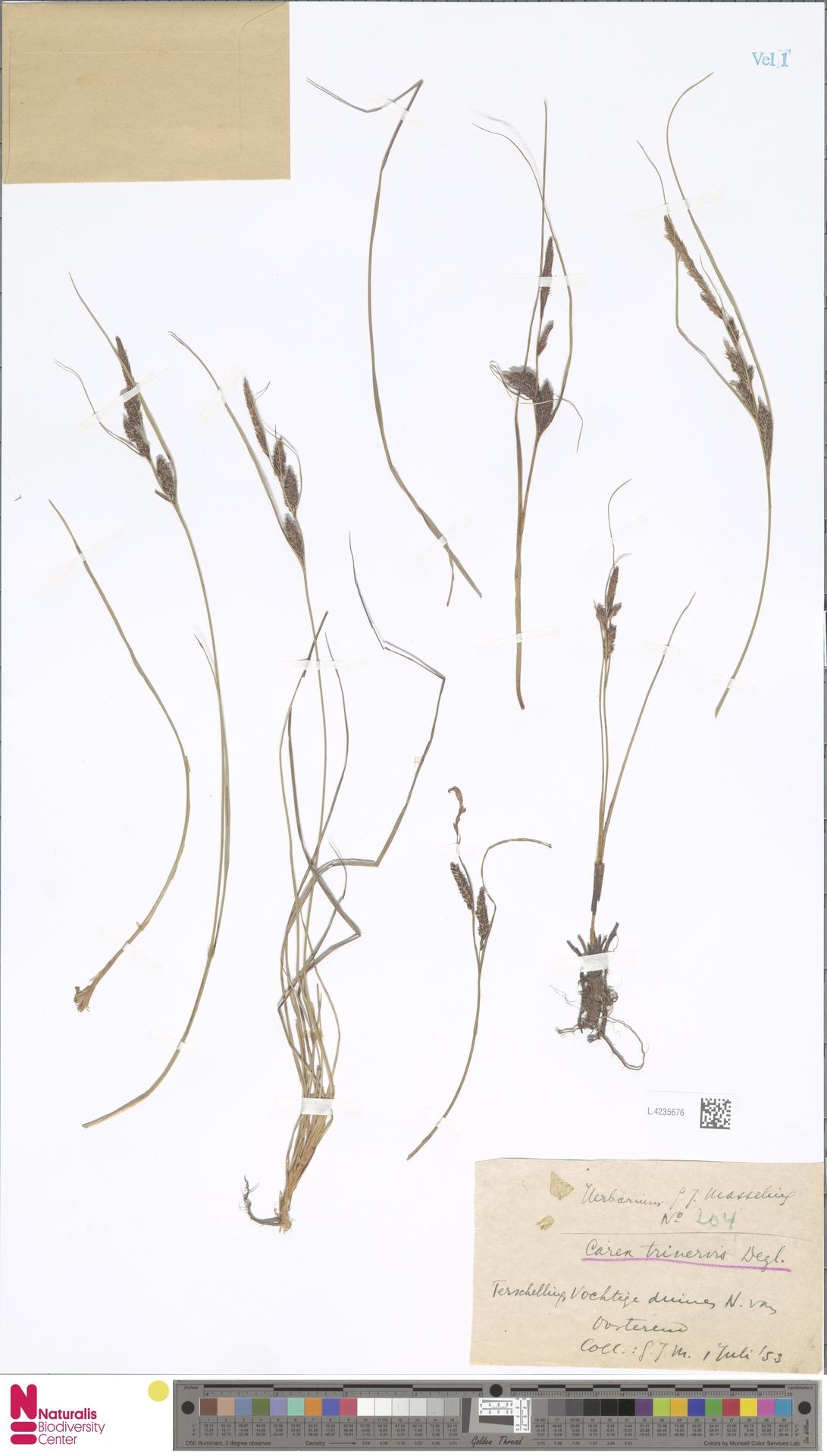 L.4235676 | Carex trinervis Degl.