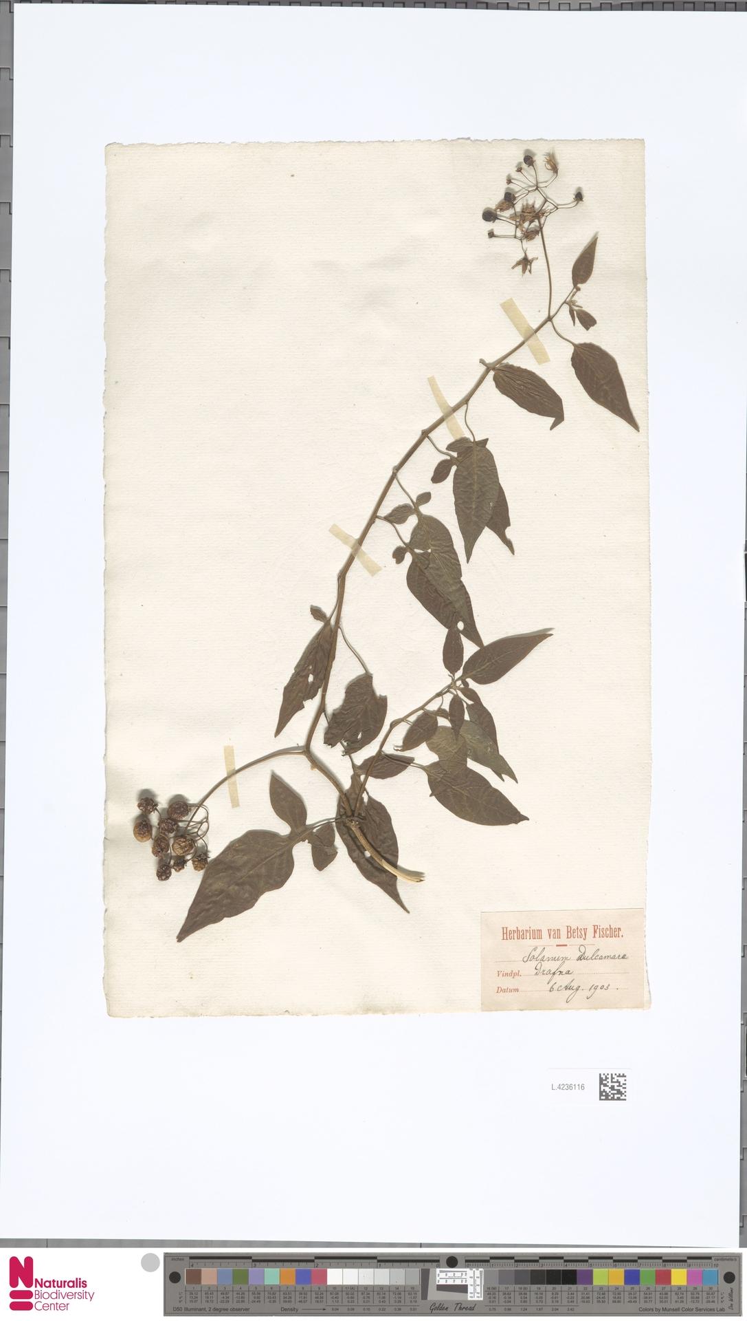 L.4236116 | Solanum dulcamara L.