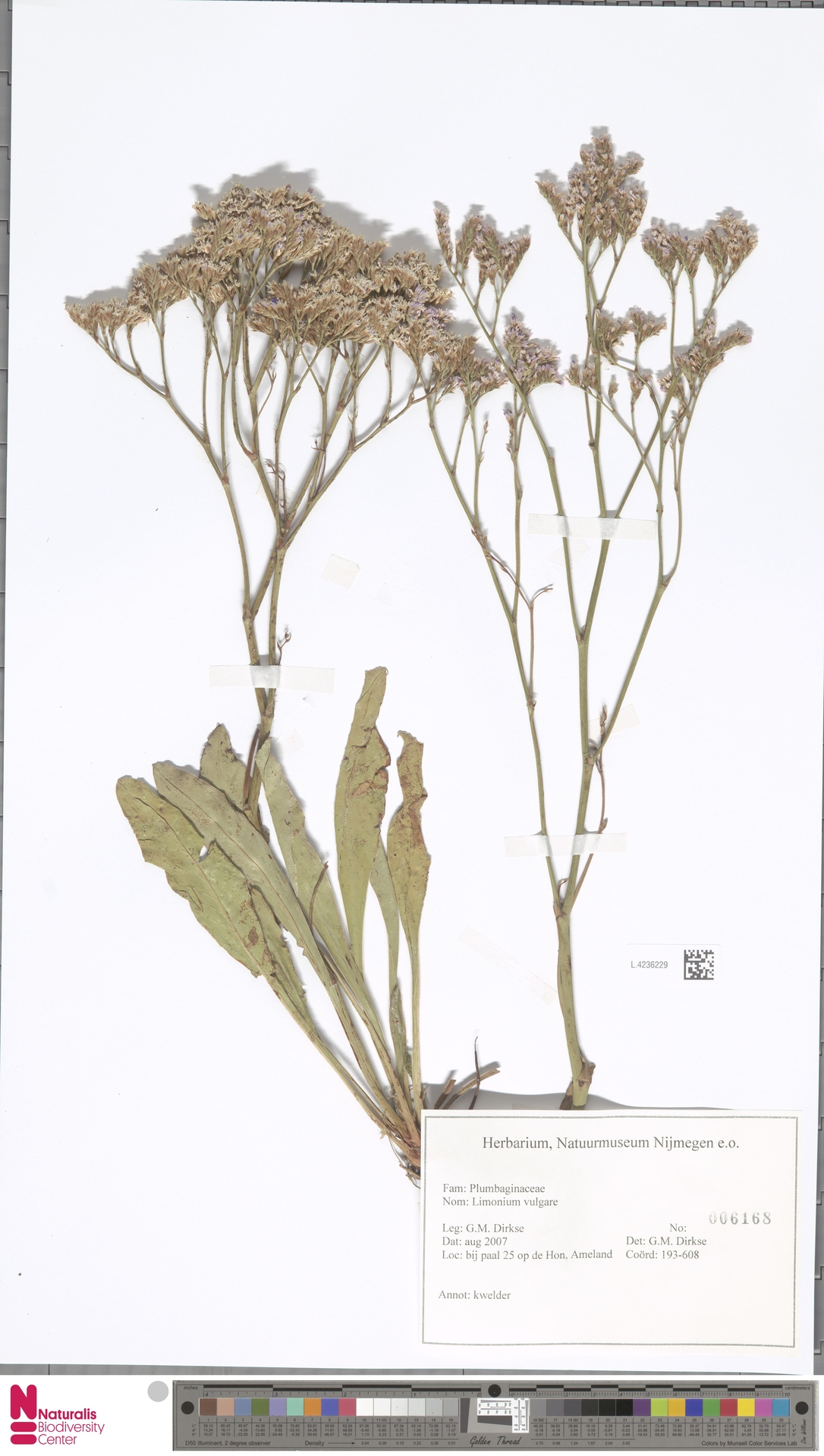 L.4236229 | Limonium vulgare Mill.