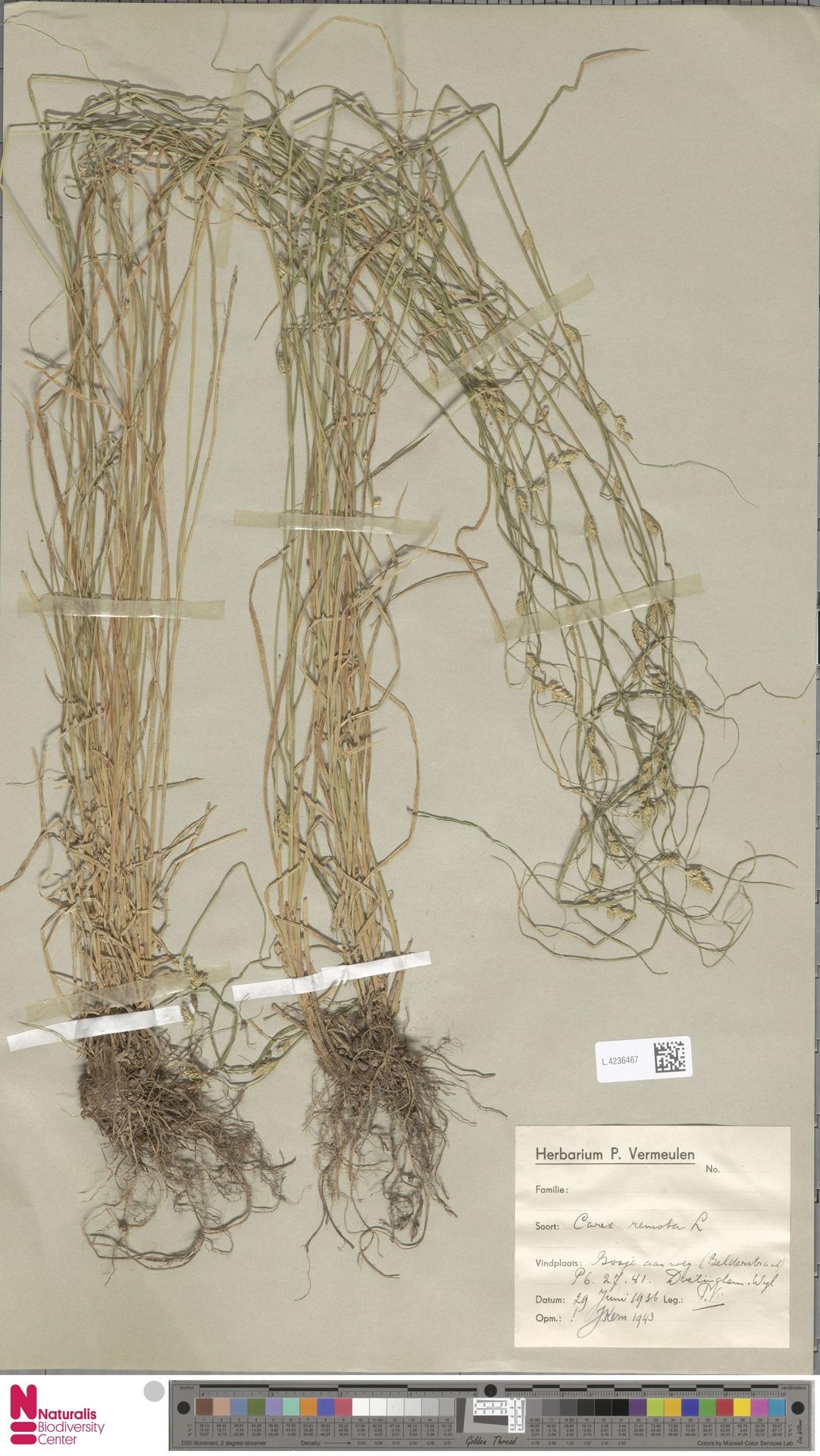 L.4236467 | Carex remota L.