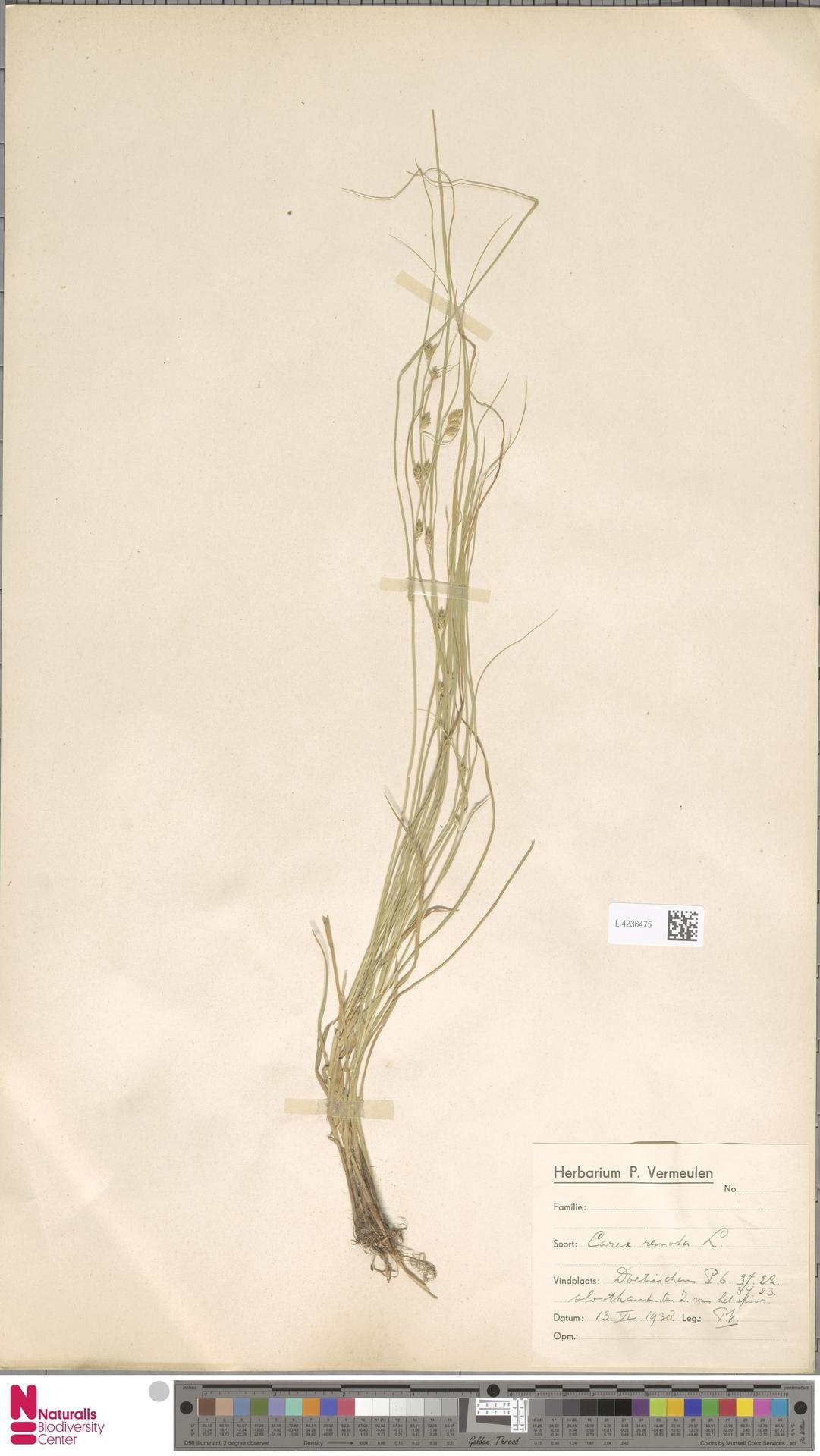 L.4236475 | Carex remota L.
