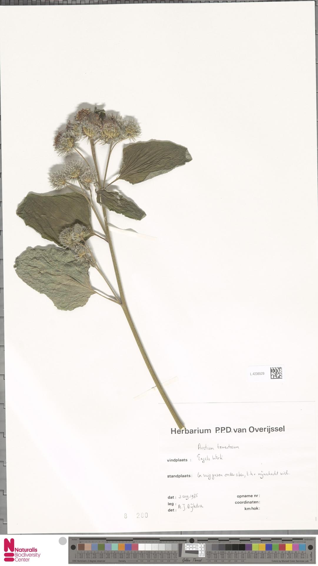 L.4236529 | Arctium tomentosum Mill.