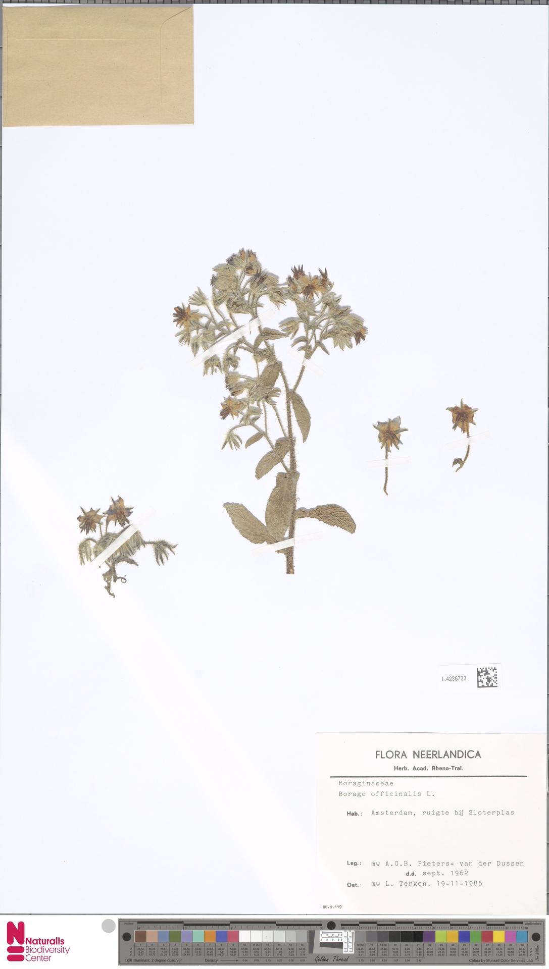 L.4236733   Borago officinalis L.